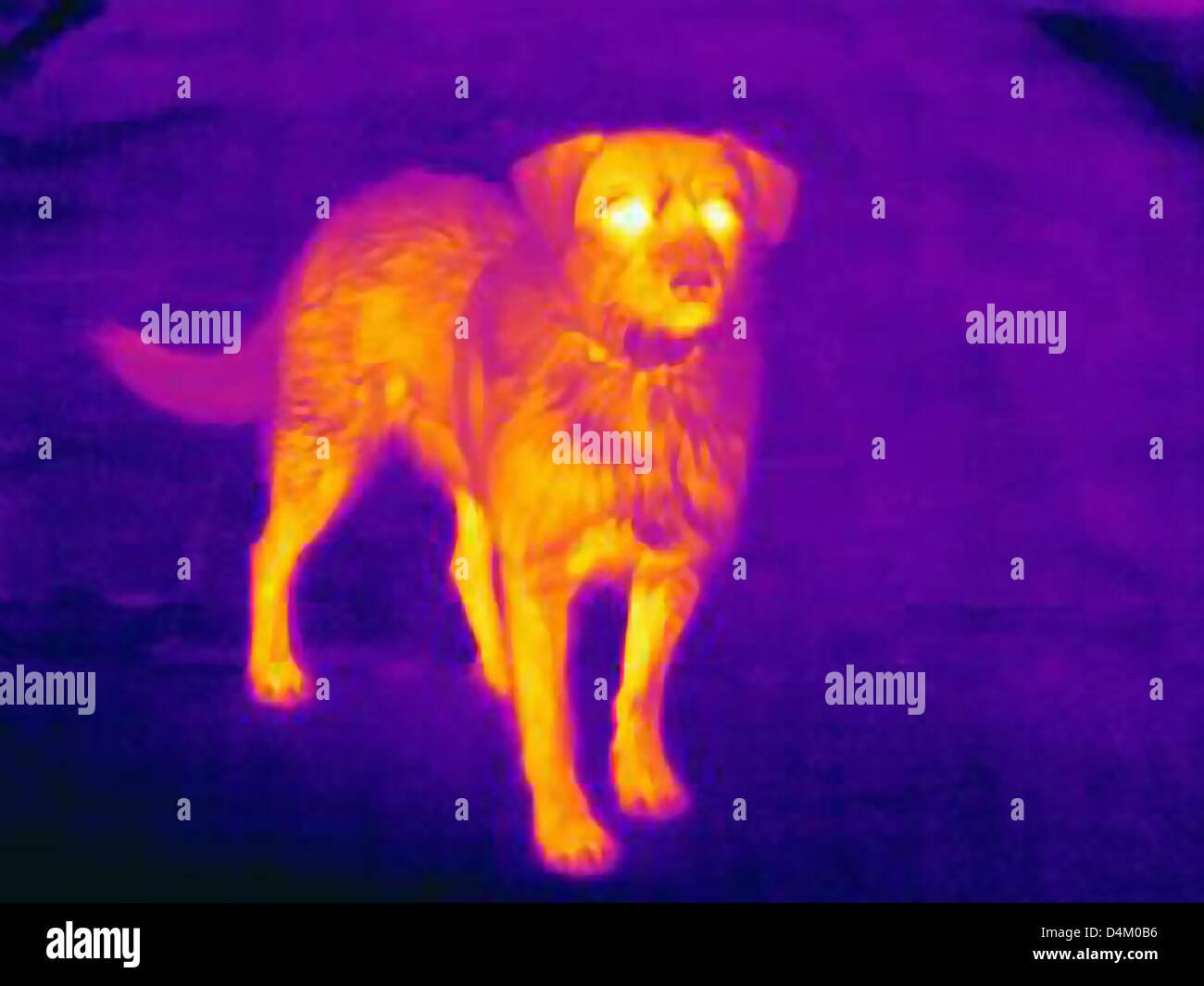 Immagine termica del cane sulla strada di città Immagini Stock