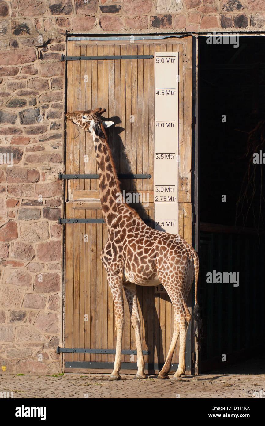 Giraffe si fermò accanto a una misura Immagini Stock