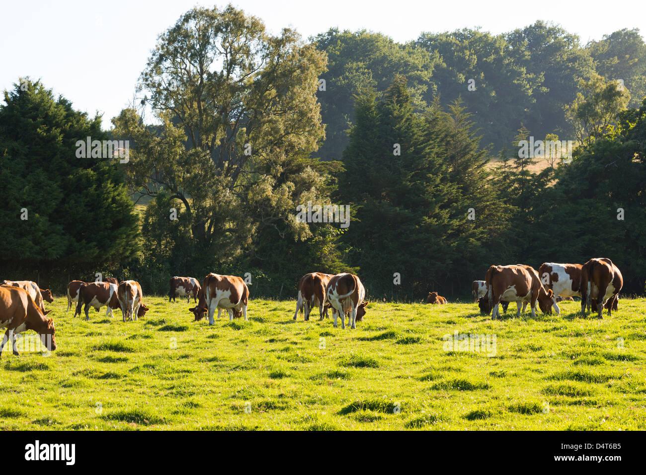 Il pascolo di bestiame nel sud del Cile Immagini Stock