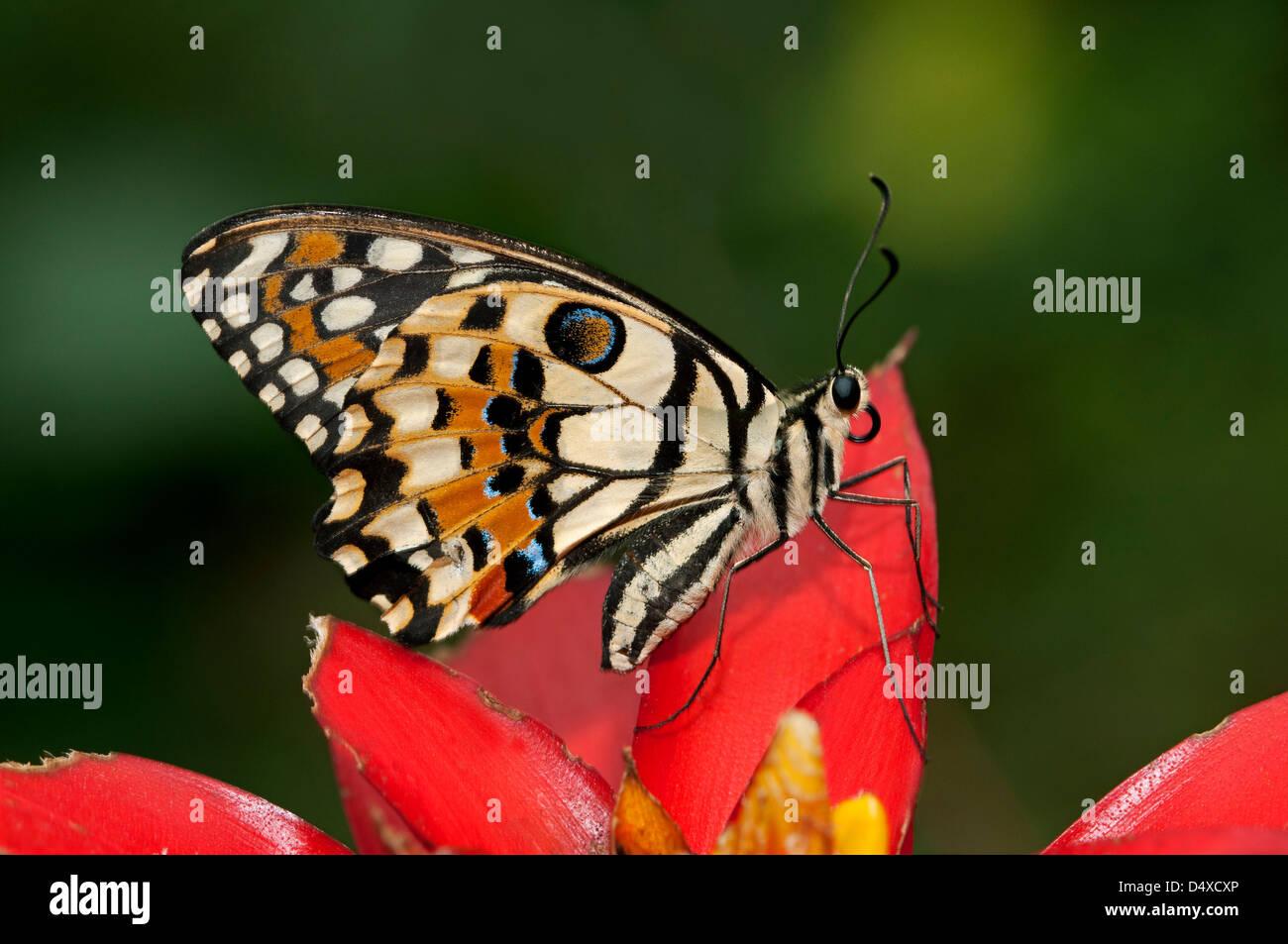 A coda di rondine a scacchi o calce comune butterfly (Papilio demoleus) Immagini Stock