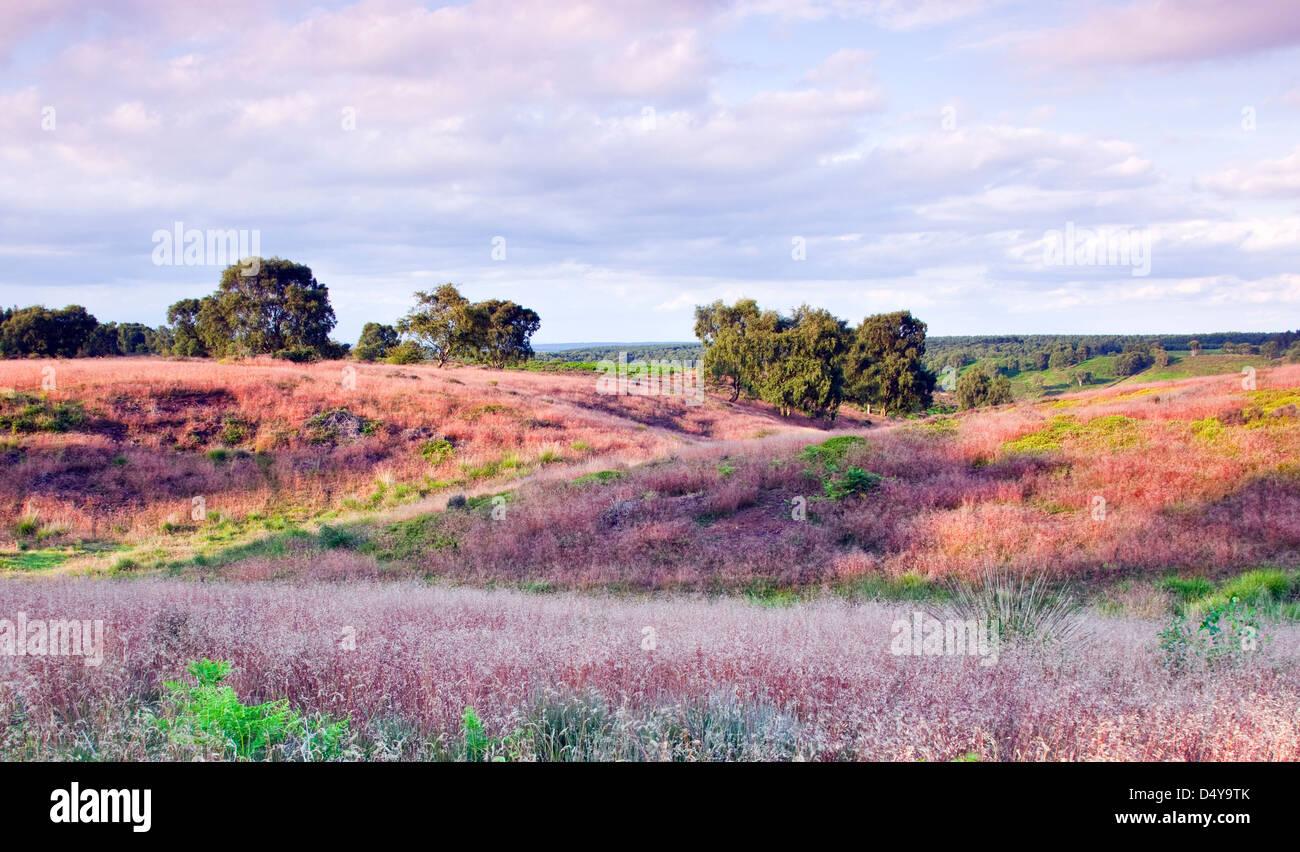 Rosso di gambi di erba selvatica con un pallido rosa fiori in estate campo Brocton Cannock Chase Country Park AONB Immagini Stock