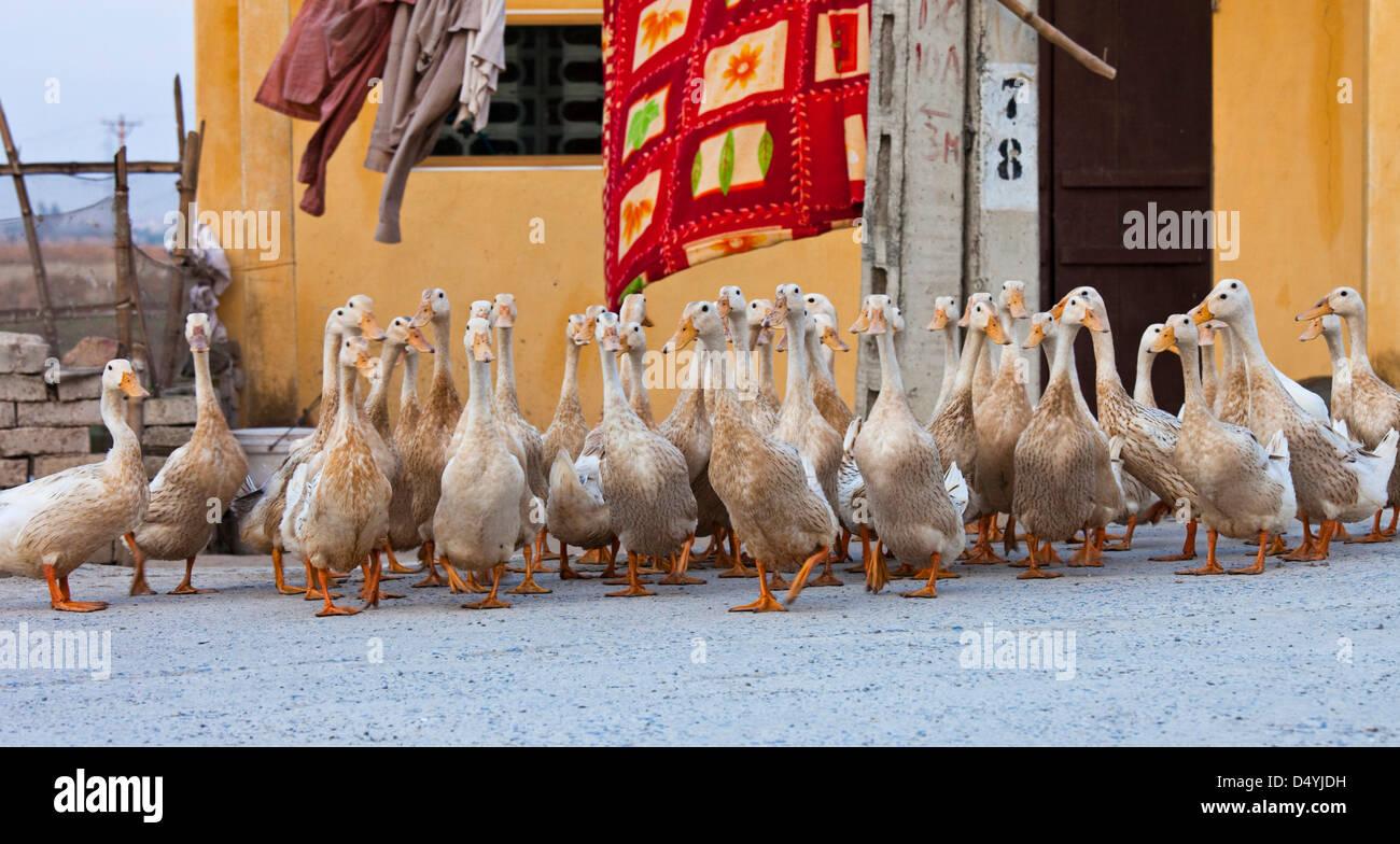 Il Vietnam. Le anatre sono sollevate in gran numero in Vietnam come principale fonte di cibo. Immagini Stock