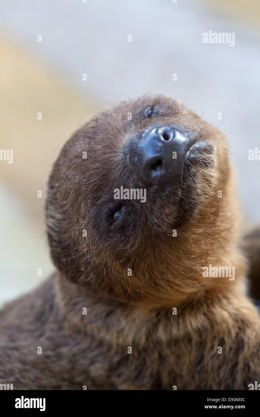 Due dita bradipo (Choloepus didactylus). Giovani orfani essendo animali allevati a mano da Amerindian paesani. Atta. Iwokrama. La Guyana. Foto Stock