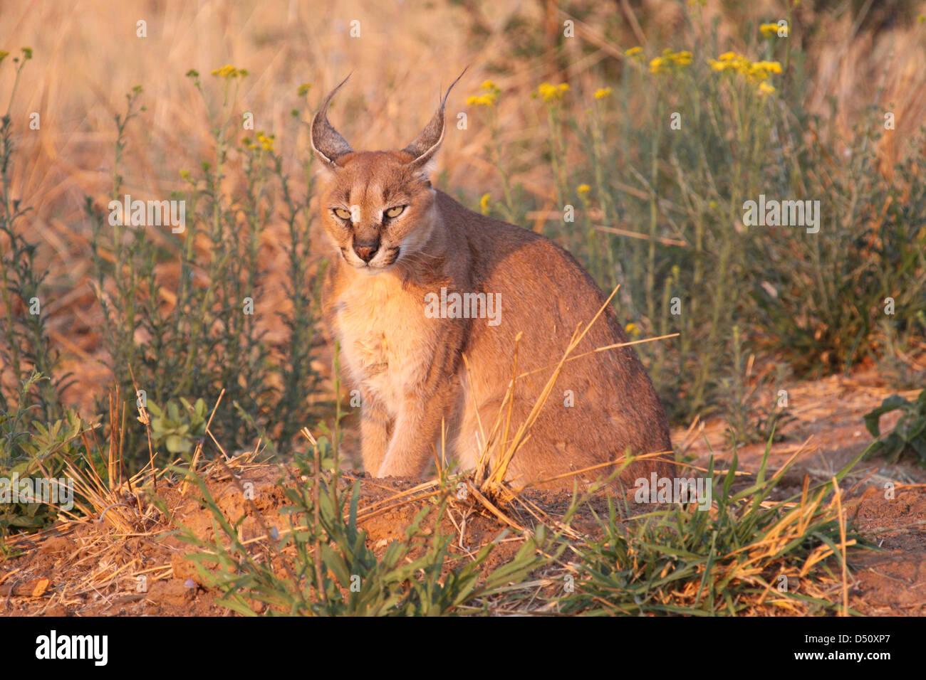 Cougar incontri Sud Africa