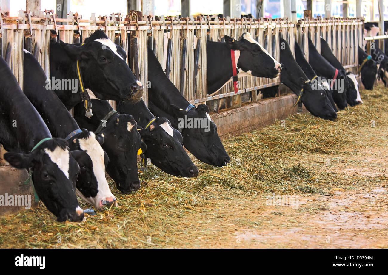 Vacche stand in una fila in una fase di stallo e mangiare del fieno a dairy farm in Israele. Immagini Stock