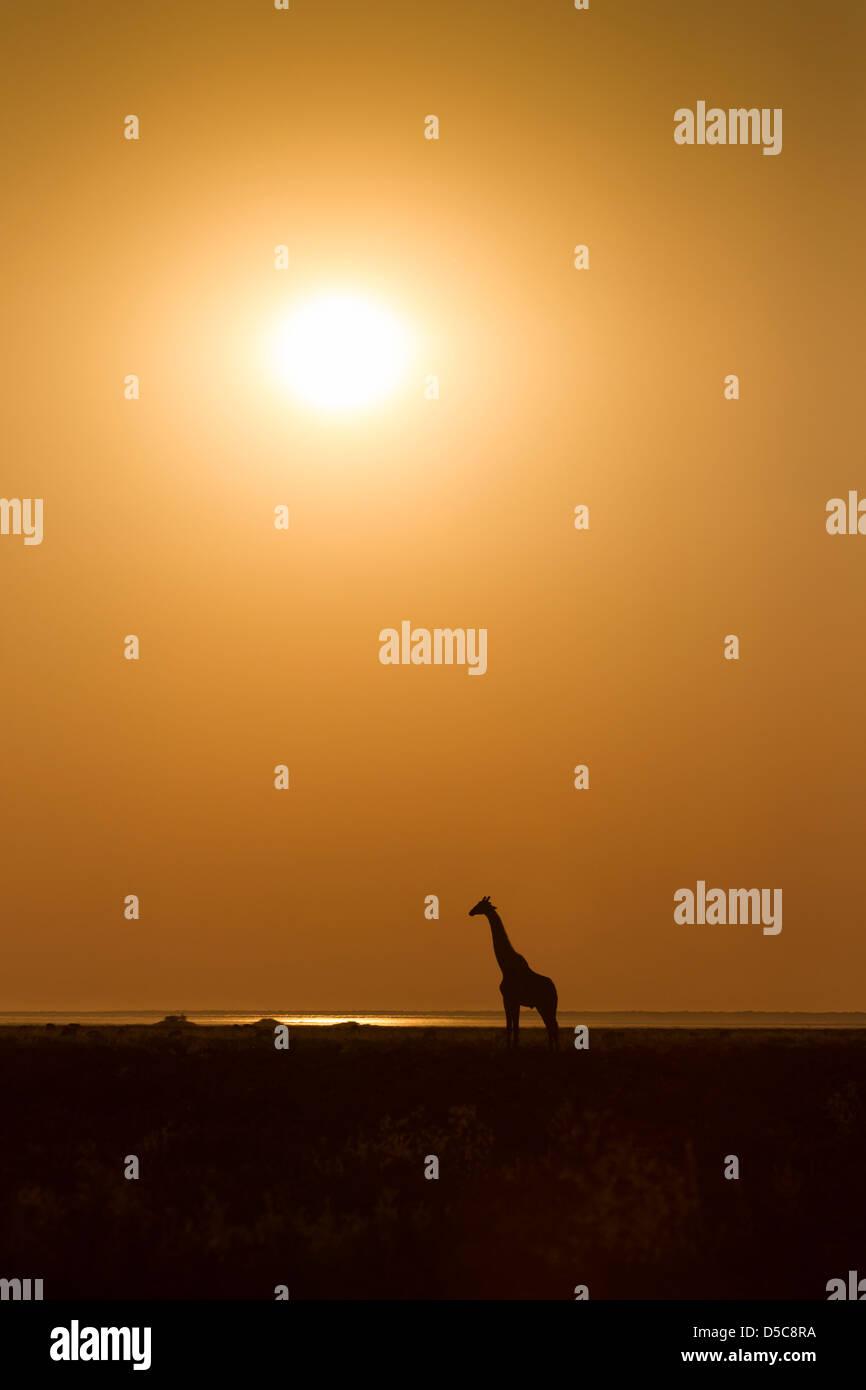 Silhouette di una giraffa di profilo contro il cielo arancione e il sole del pomeriggio sulle pianure del Parco Immagini Stock