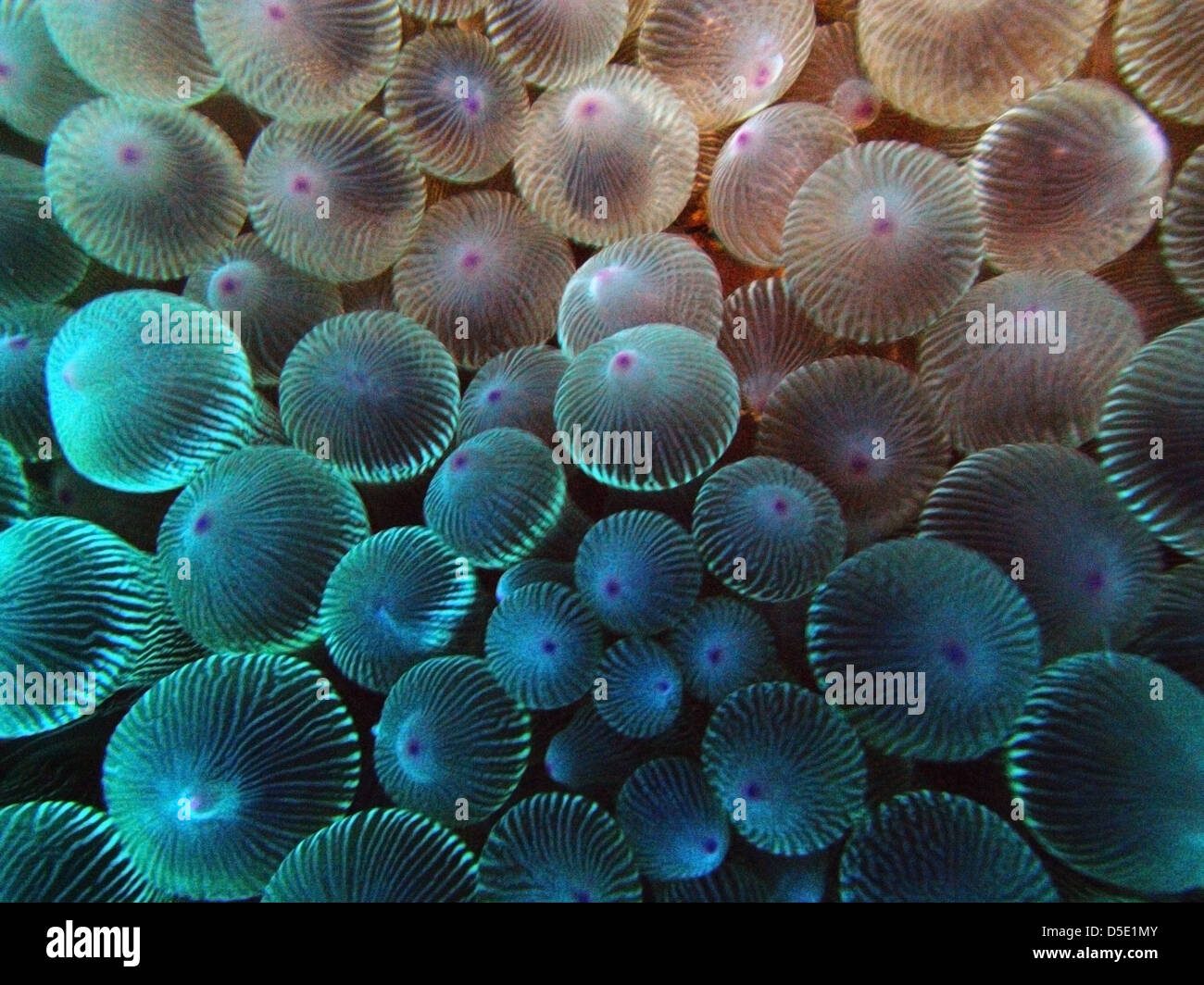 Dettaglio dei tentacoli di anemone, Admiralty Islands, Isola di Lord Howe Marine Park, Australia Immagini Stock
