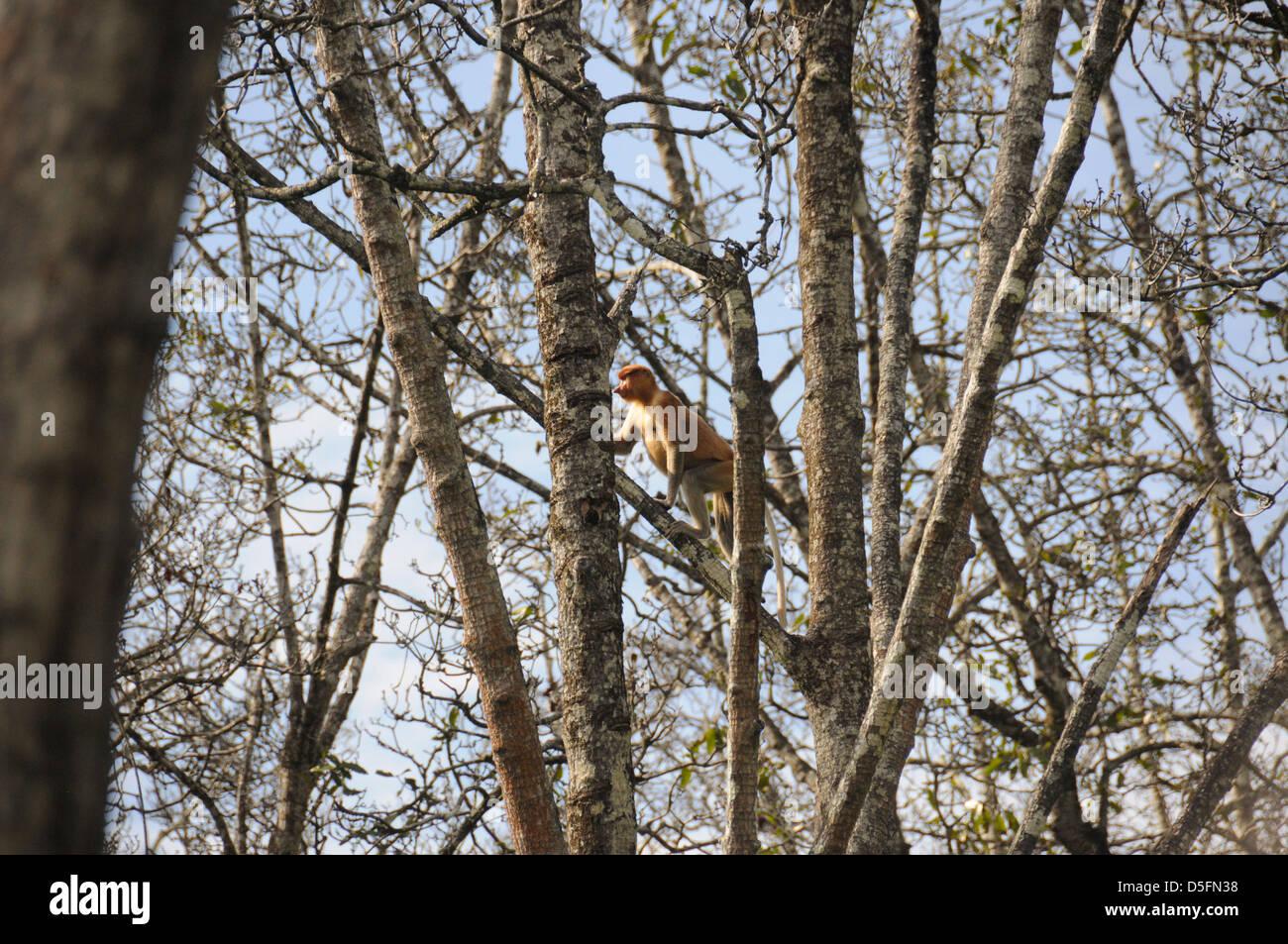 Proboscide scimmie (a becco lungo la scimmia) negli alberi vicino a Brunei capitale Bandar Seri Begawan, Immagini Stock