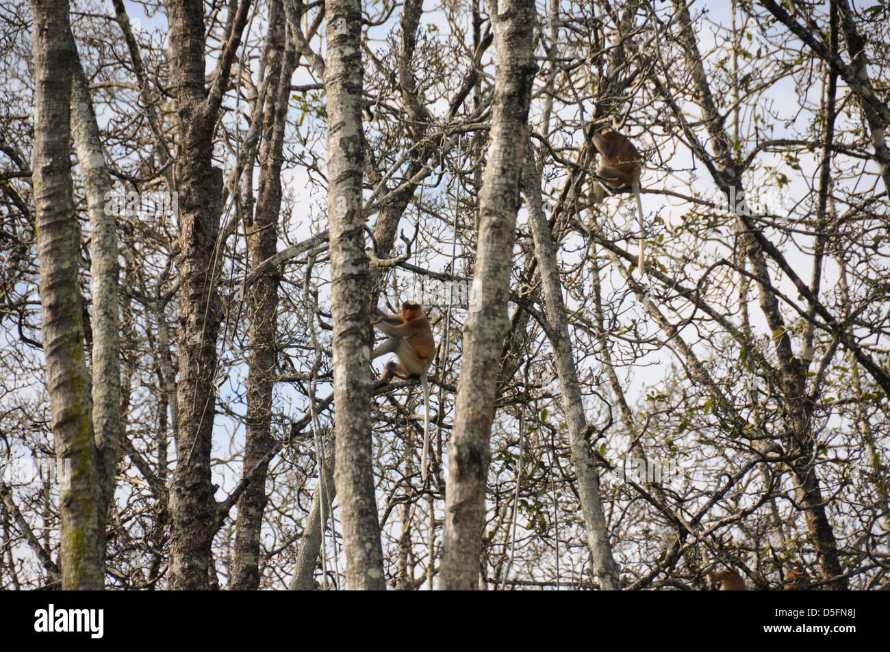 Proboscide di scimmia (a becco lungo la scimmia) negli alberi vicino a Brunei Captital Bandar Seri Begawan Immagini Stock