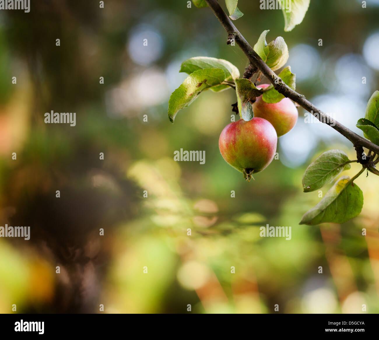 In prossimità dell'albero di mele con mele rosse Immagini Stock
