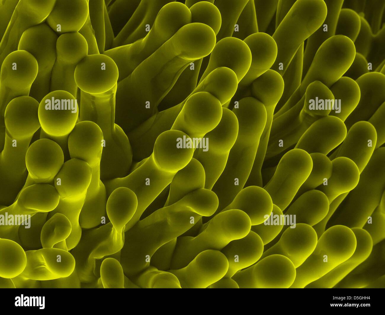 Lo Stigma di African Violet (saintpaulia) fiore, microscopia elettronica a scansione Immagini Stock