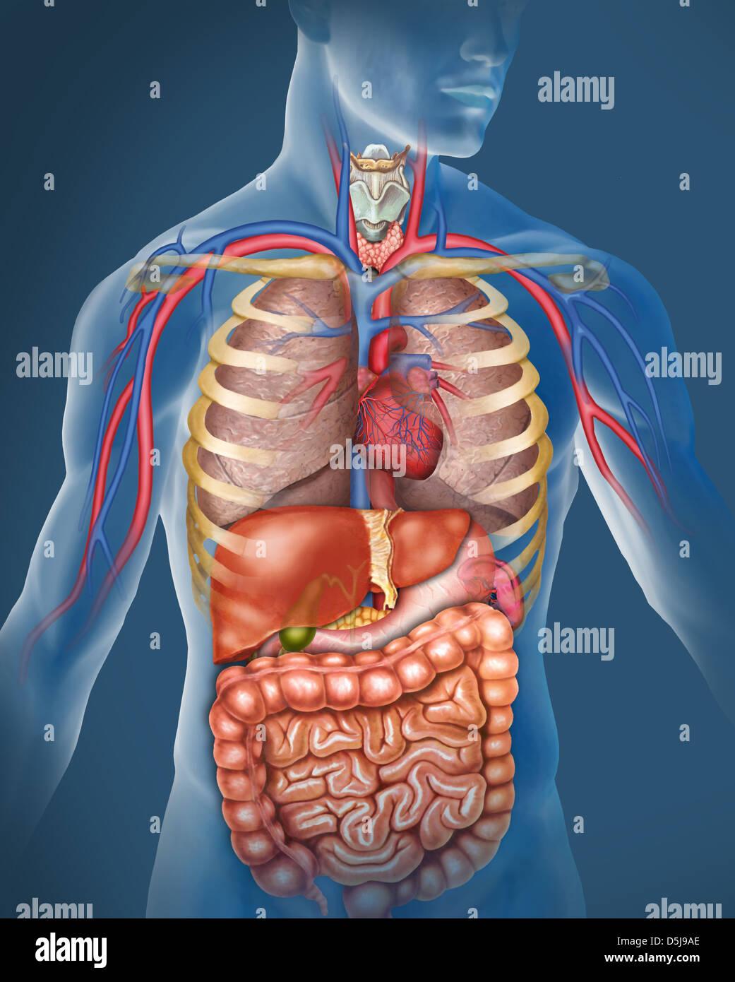 Anatomía del cuerpo humano. Ilustración compuesta por el sistema respiratorio, pulmones tráquea, Immagini Stock