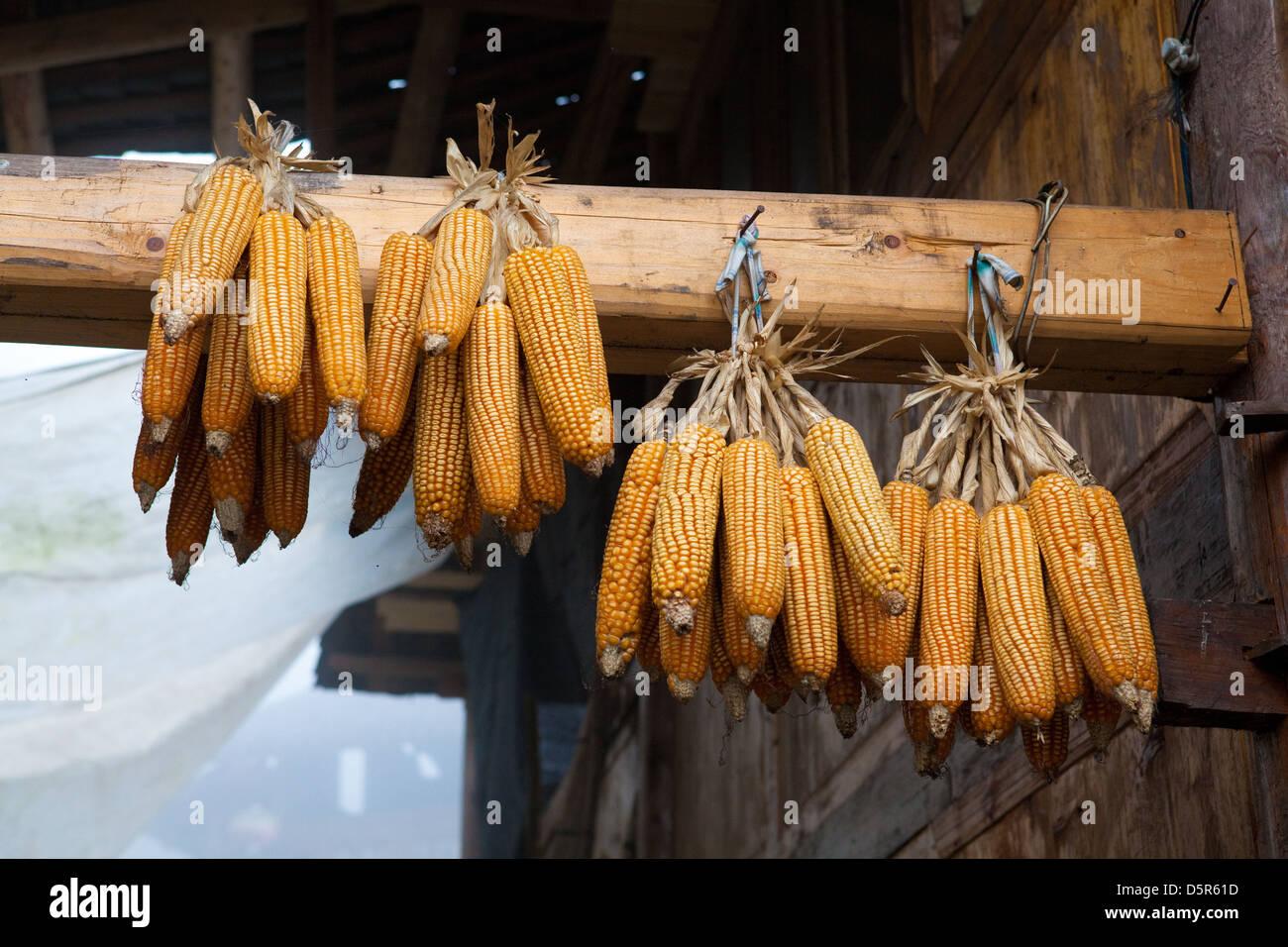 Granturco dolce, Long-ji terrazze di riso, Ping-An, Cina Foto Stock