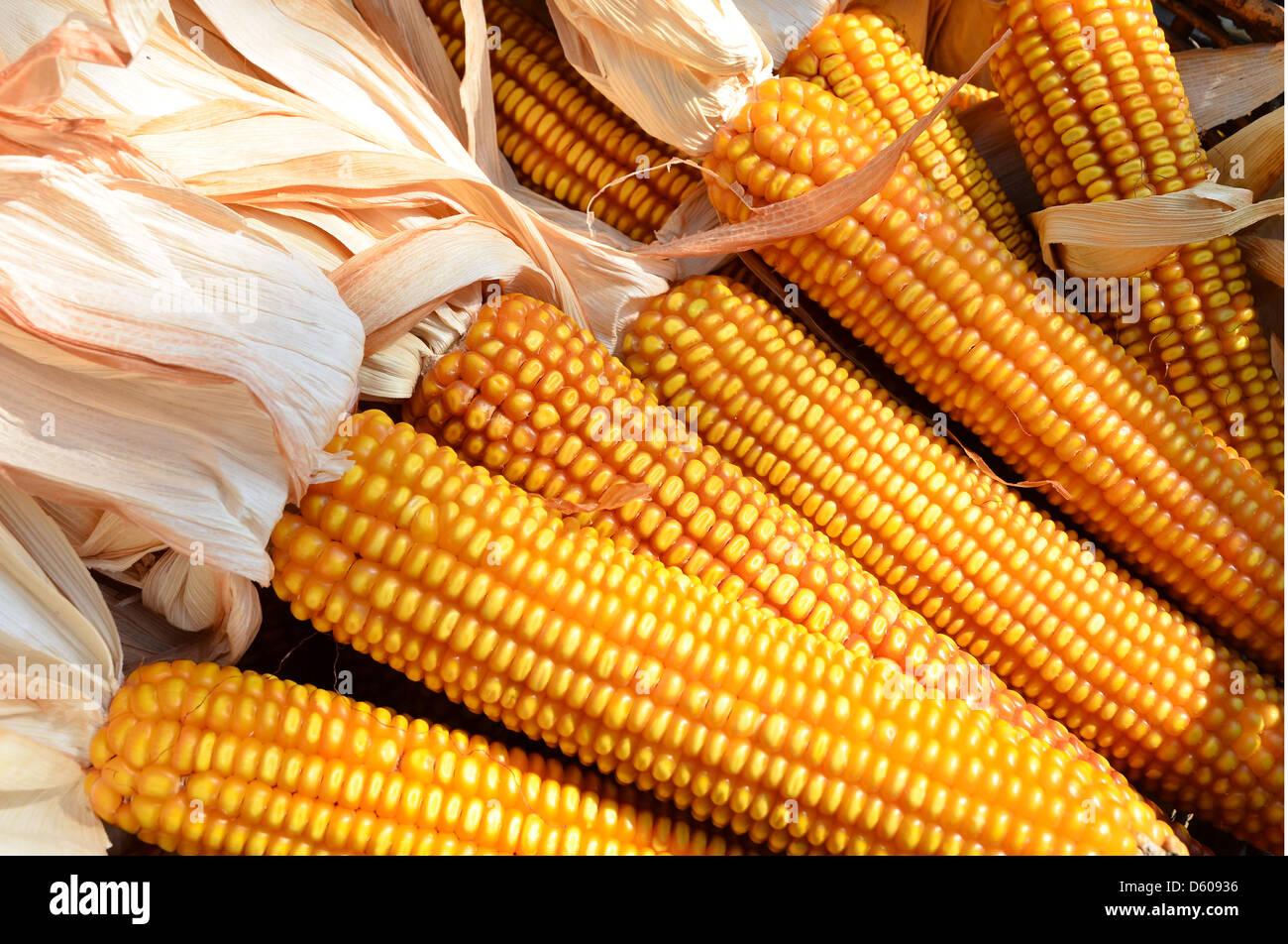 Dettaglio di mais, agricoltura. Immagini Stock