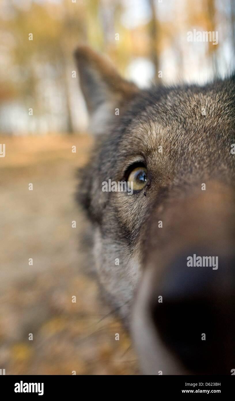 FILE - Un archivio foto datata 9 novembre 2011 mostra lupi presso il recinto faunistico di Moritzburg, Germania. Immagini Stock