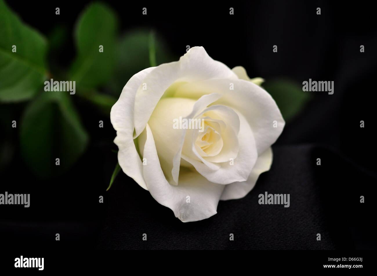 Rosa Bianca Su Sfondo Nero Foto Immagine Stock 55463398 Alamy