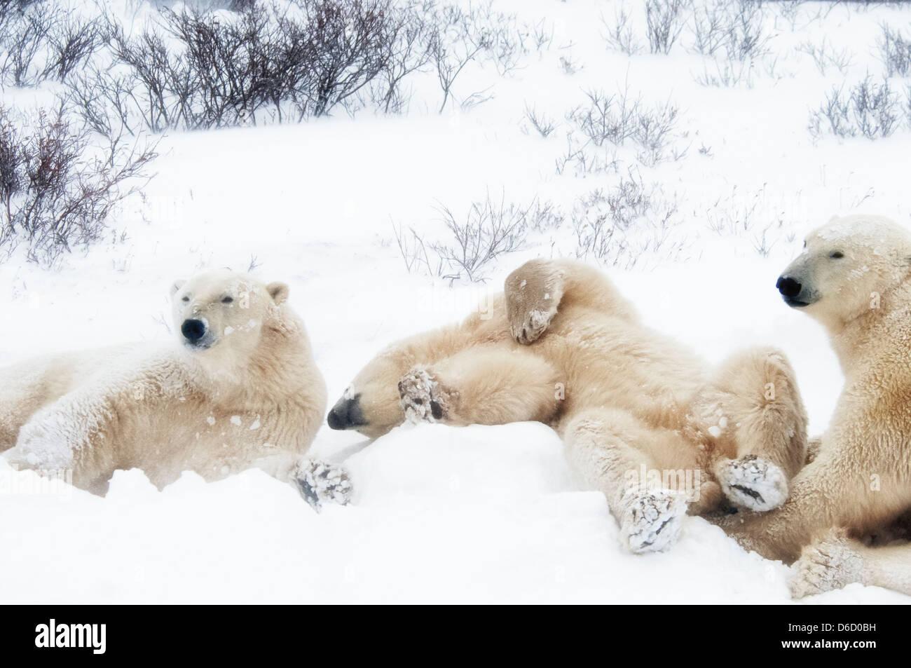 Tre giovani orsi polari, Ursus maritimus, appendere intorno insieme, Wapusk National Park, vicino a Hudson Churchill, Immagini Stock