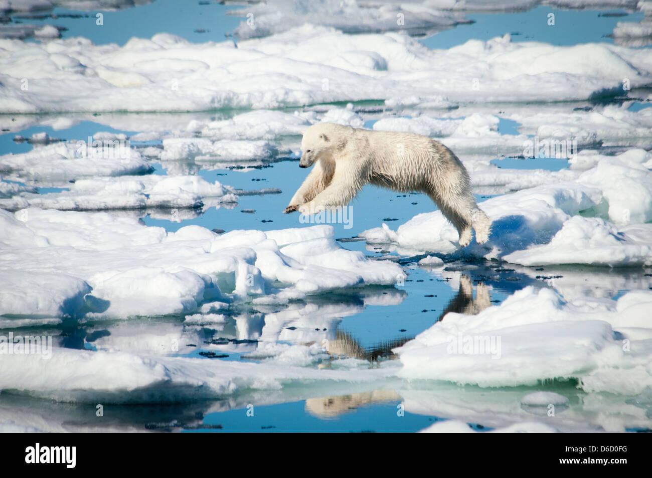 Orso polare, Ursus maritimus, saltando su ghiaccio fondente nel Olgastretet Pack ghiaccio, arcipelago delle Svalbard, Immagini Stock