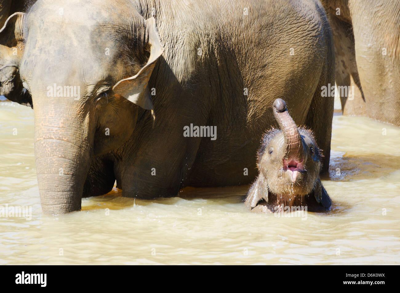 Pinnewala Elephant orfanotrofio vicino a Kegalle, Hill Country, Sri Lanka, Asia Immagini Stock