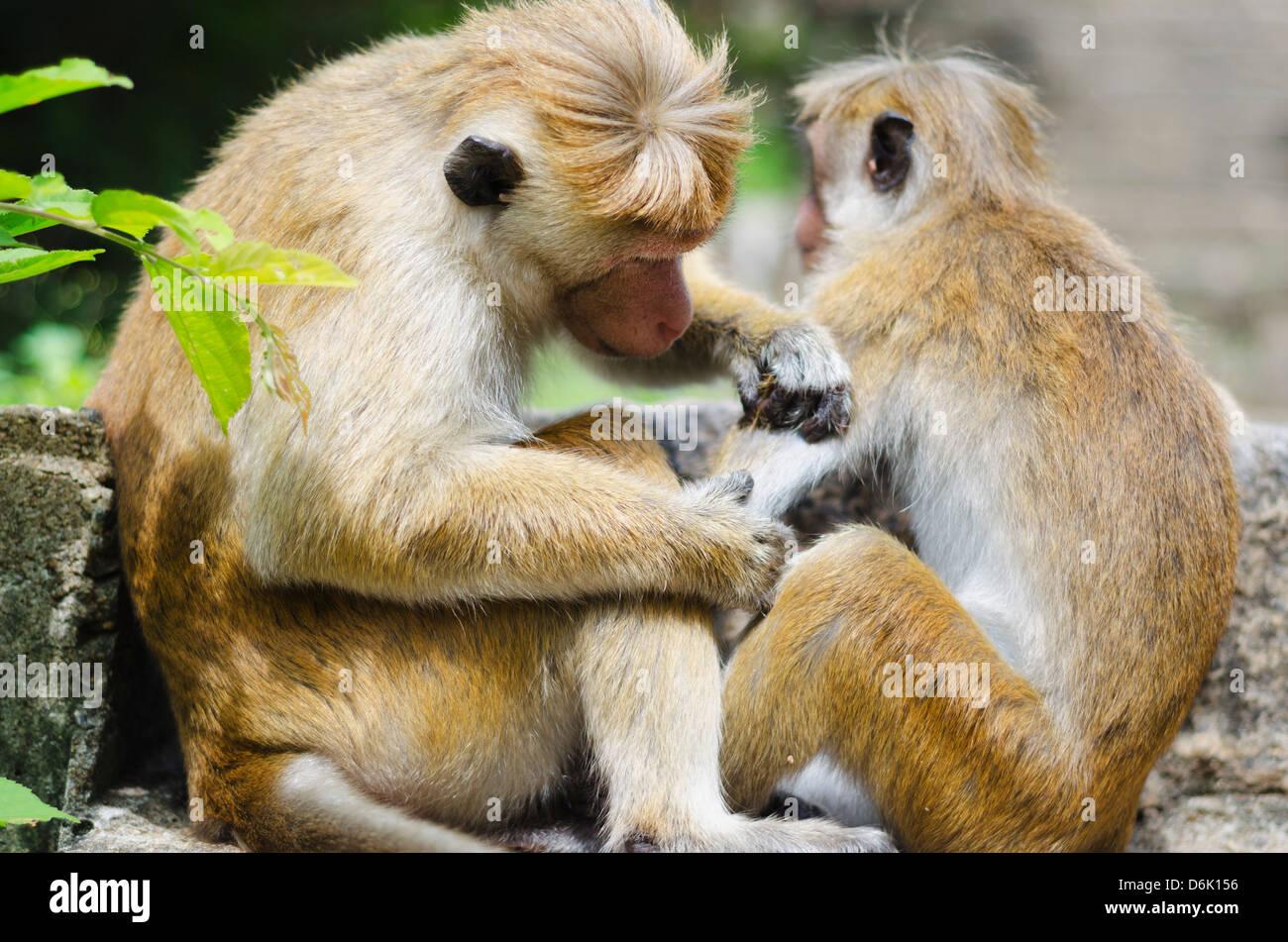 Tote scimmie macaco toelettatura a Dambulla, Nord provincia centrale, Sri Lanka, Asia Immagini Stock