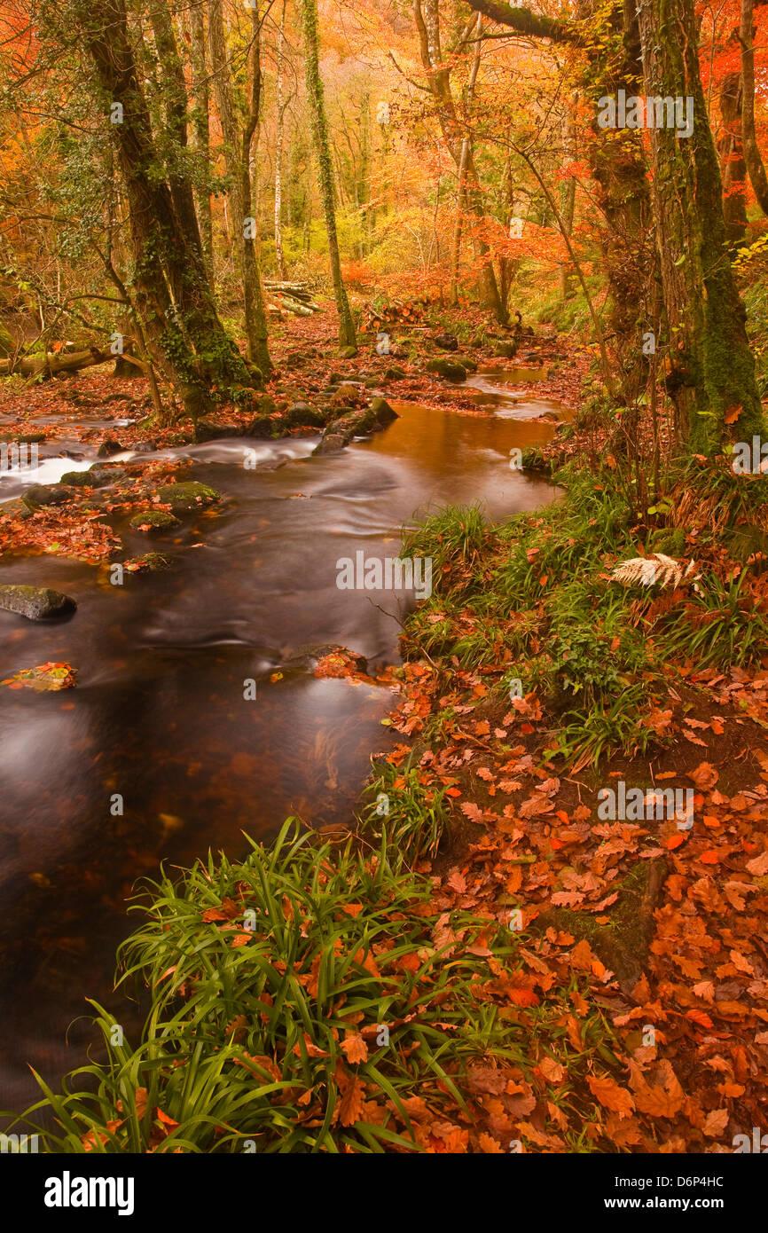 I colori autunnali intorno al fiume Teign e legno Hannicombe vicino al Ponte Fingle, Parco Nazionale di Dartmoor, Immagini Stock