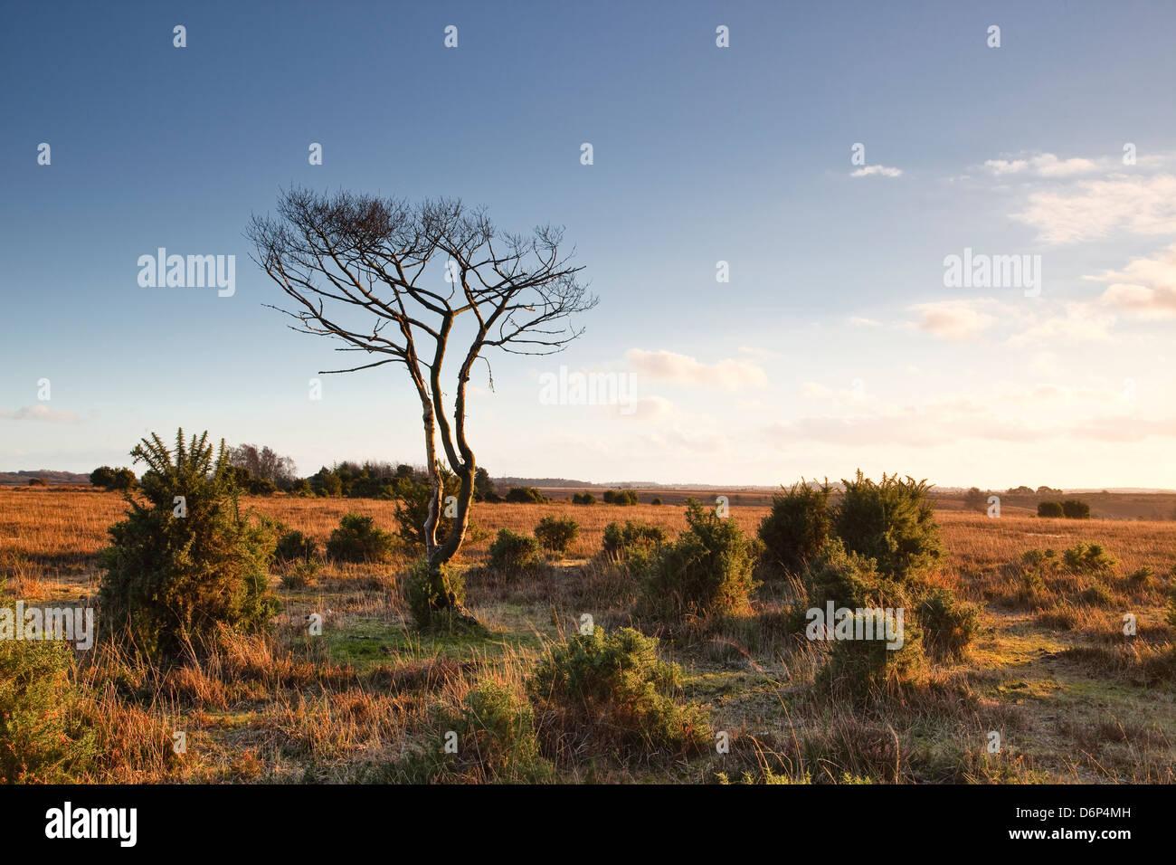 La brughiera di nuova foresta alla fine di una giornata invernale e, Hampshire, Inghilterra, Regno Unito, Europa Foto Stock