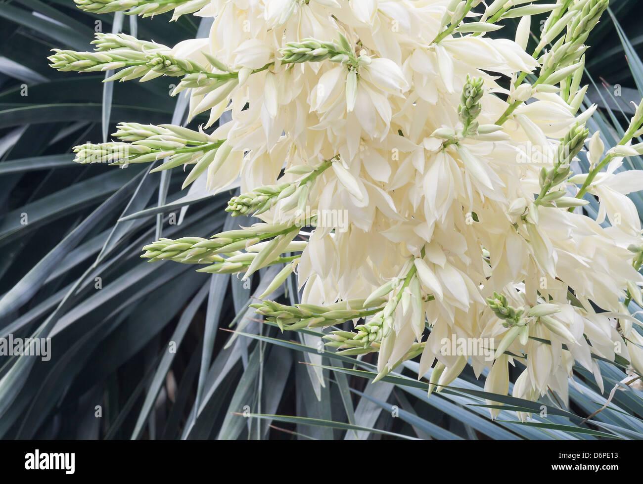 Dettaglio di un cactus fiorire piante succulente Immagini Stock