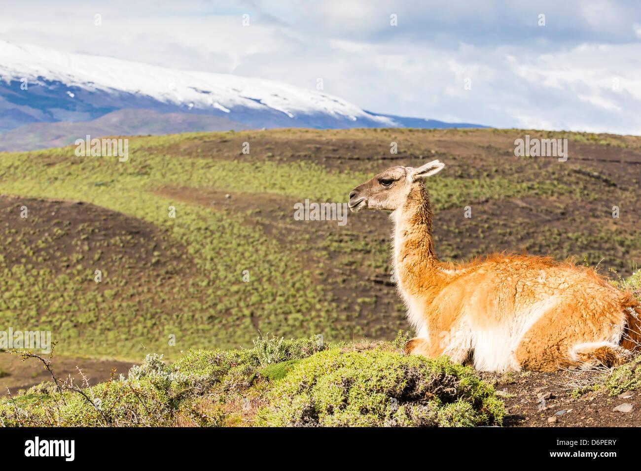 Adulto guanaco (Lama guanicoe), il Parco Nazionale di Torres del Paine nella Patagonia cilena, Sud America Foto Stock