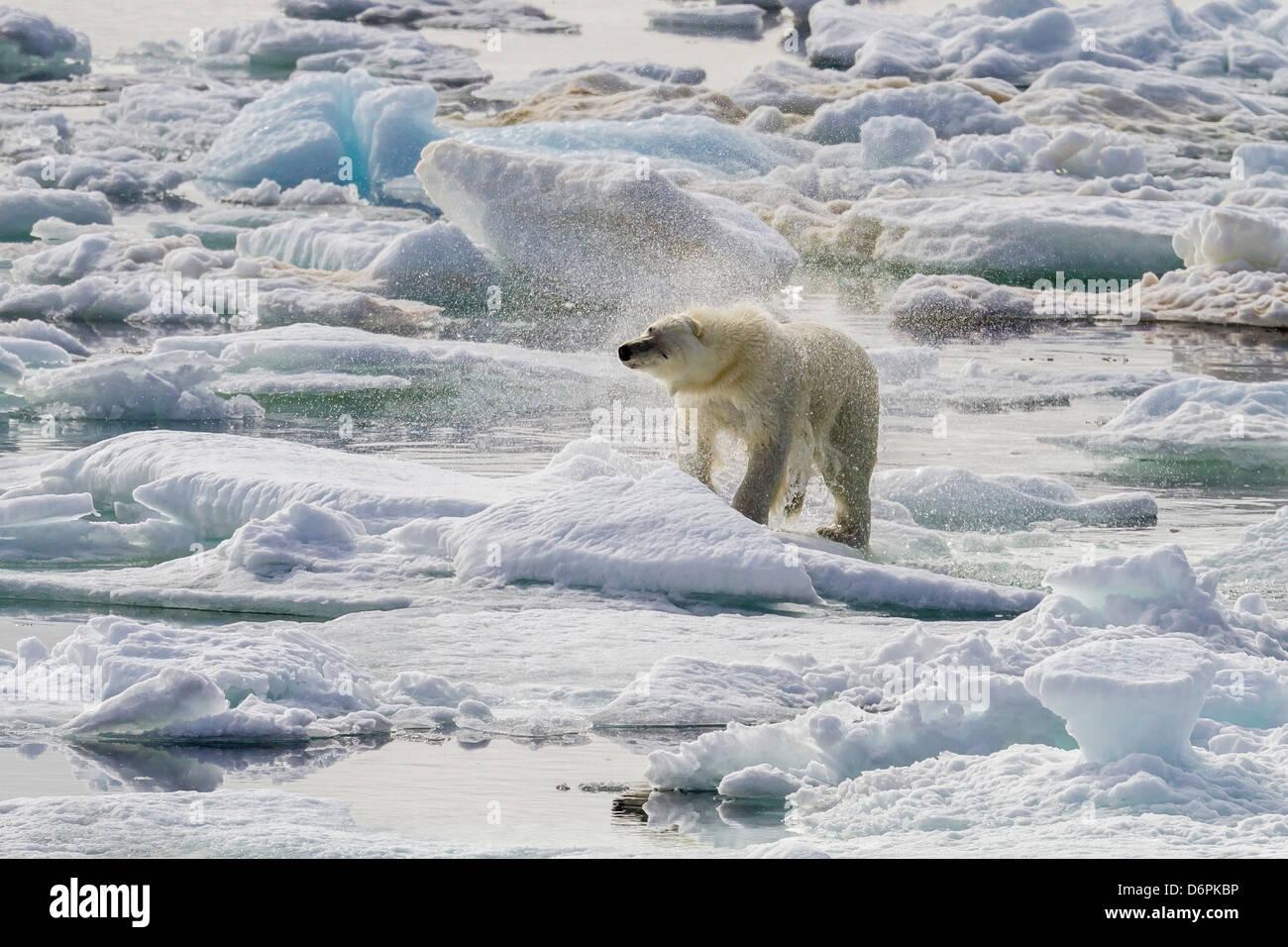 Adulto di orso polare (Ursus maritimus) Essiccazione fuori sul ghiaccio in orso Suono, isola Spitsbergen, Svalbard, Immagini Stock