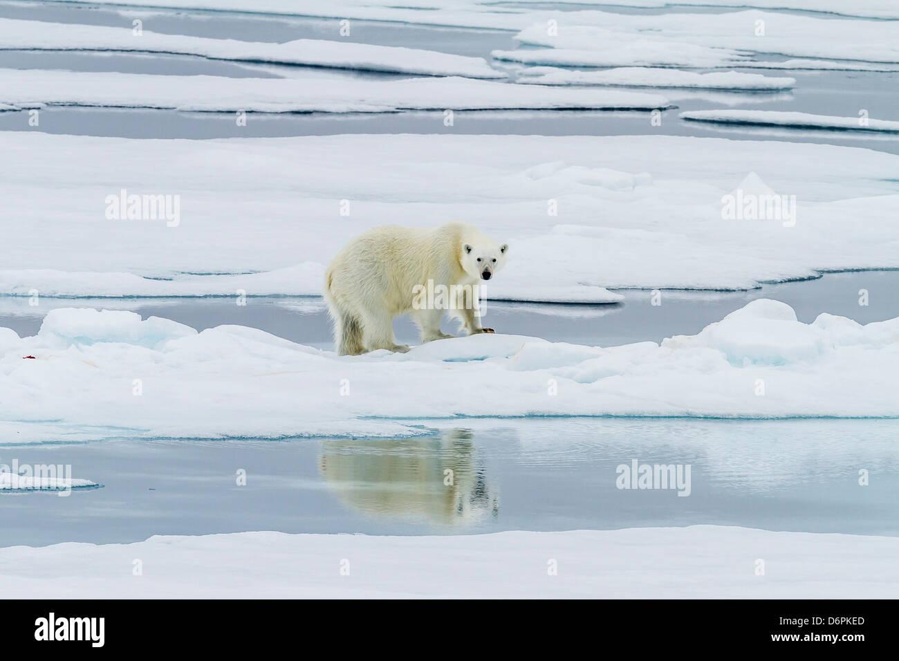 Adulto di orso polare (Ursus maritimus) su un recente kill su Moffen Island Isole Svalbard, Norvegia, Scandinavia, Immagini Stock
