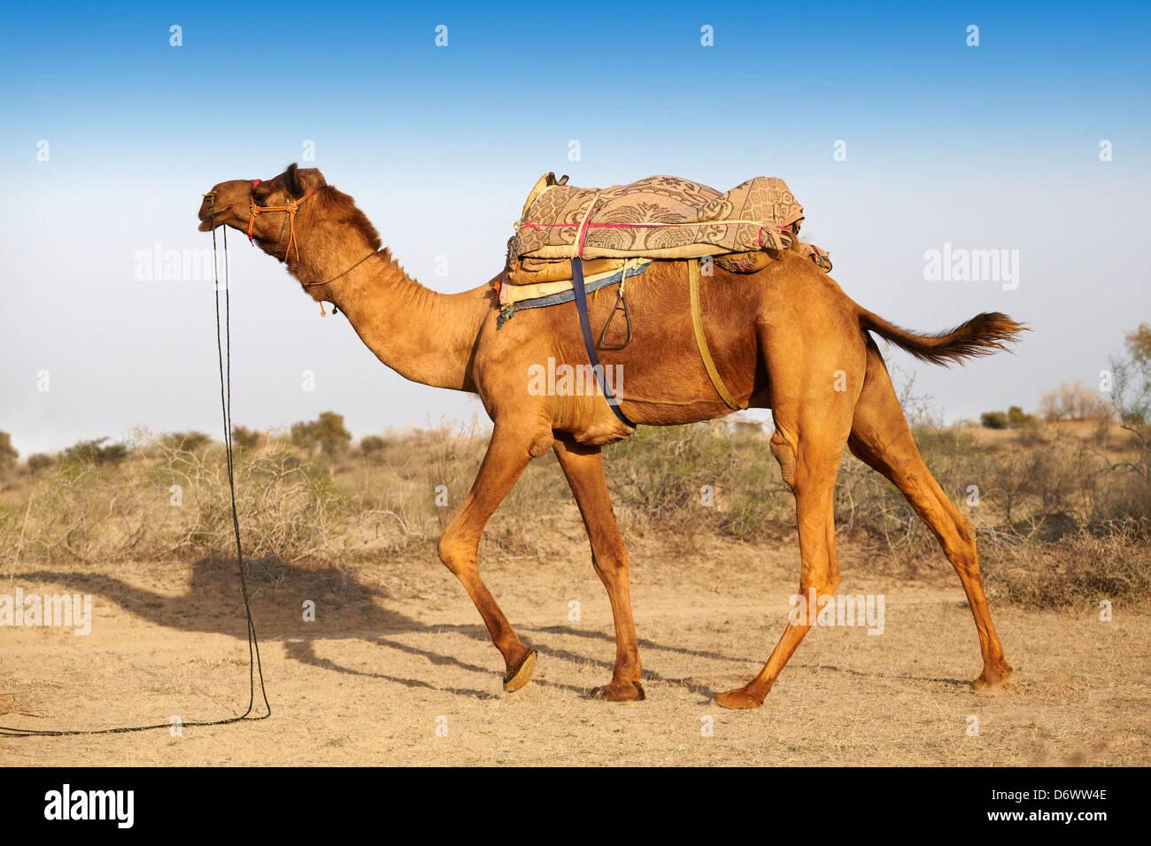 Cammello nel deserto di Thar, Rajasthan, India Immagini Stock