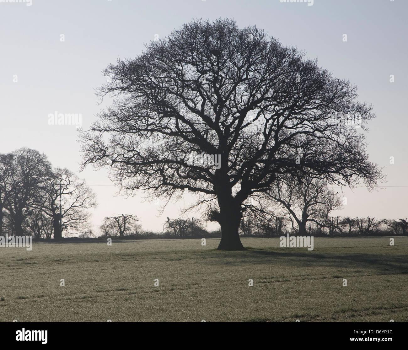 Profilo di sfrondato quercia in piedi in campo da soli, Sutton, Suffolk, Inghilterra Immagini Stock