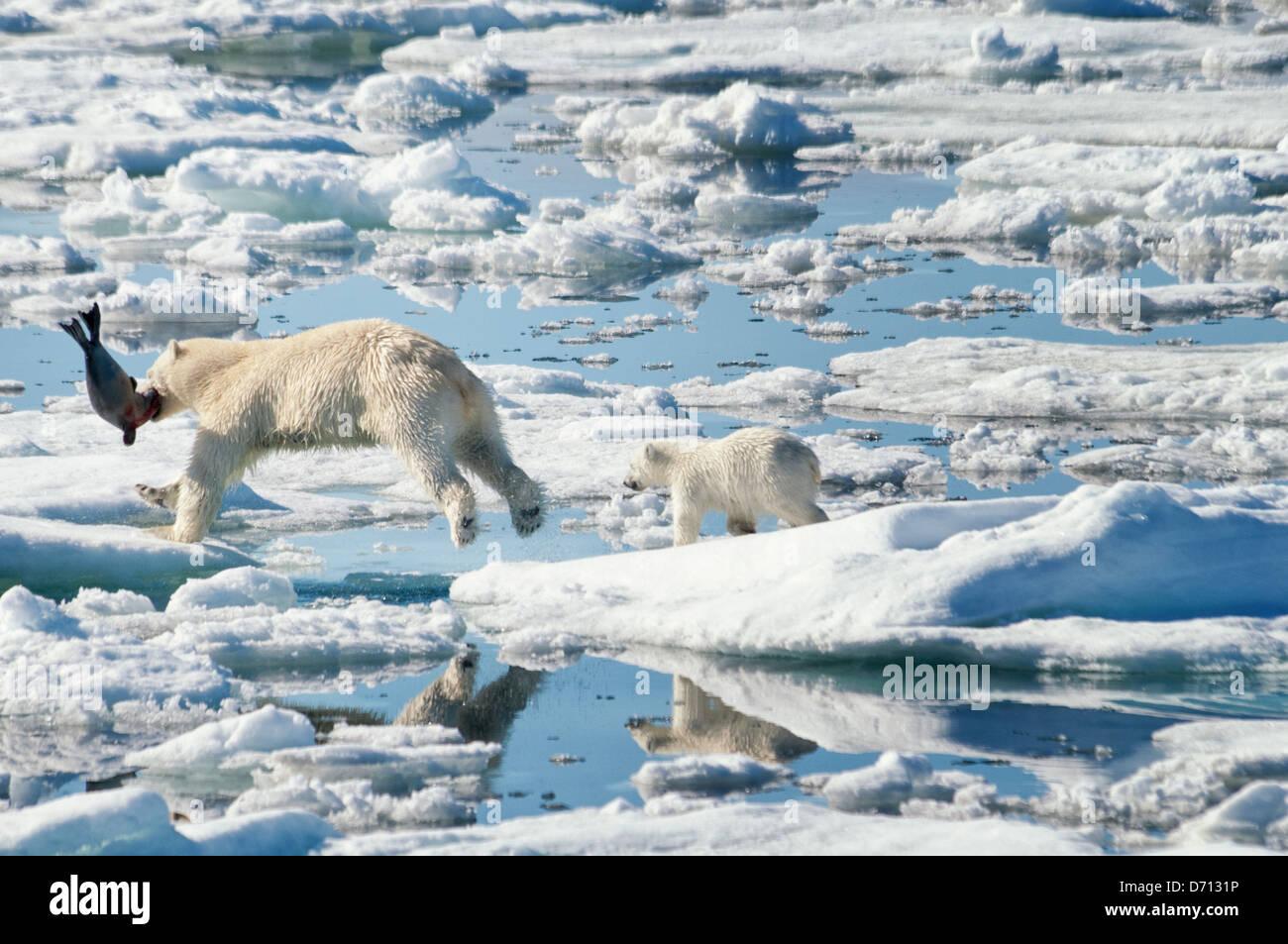 #6 in una serie di immagini di una madre orso polare, Ursus maritimus, stalking una guarnizione per sfamare la sua Immagini Stock