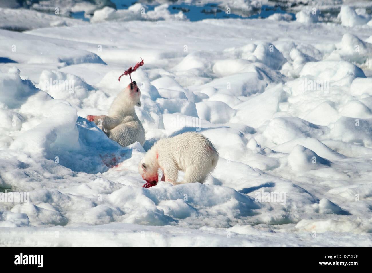 #10 in una serie di immagini di una madre orso polare, Ursus maritimus, stalking una guarnizione per sfamare la Immagini Stock