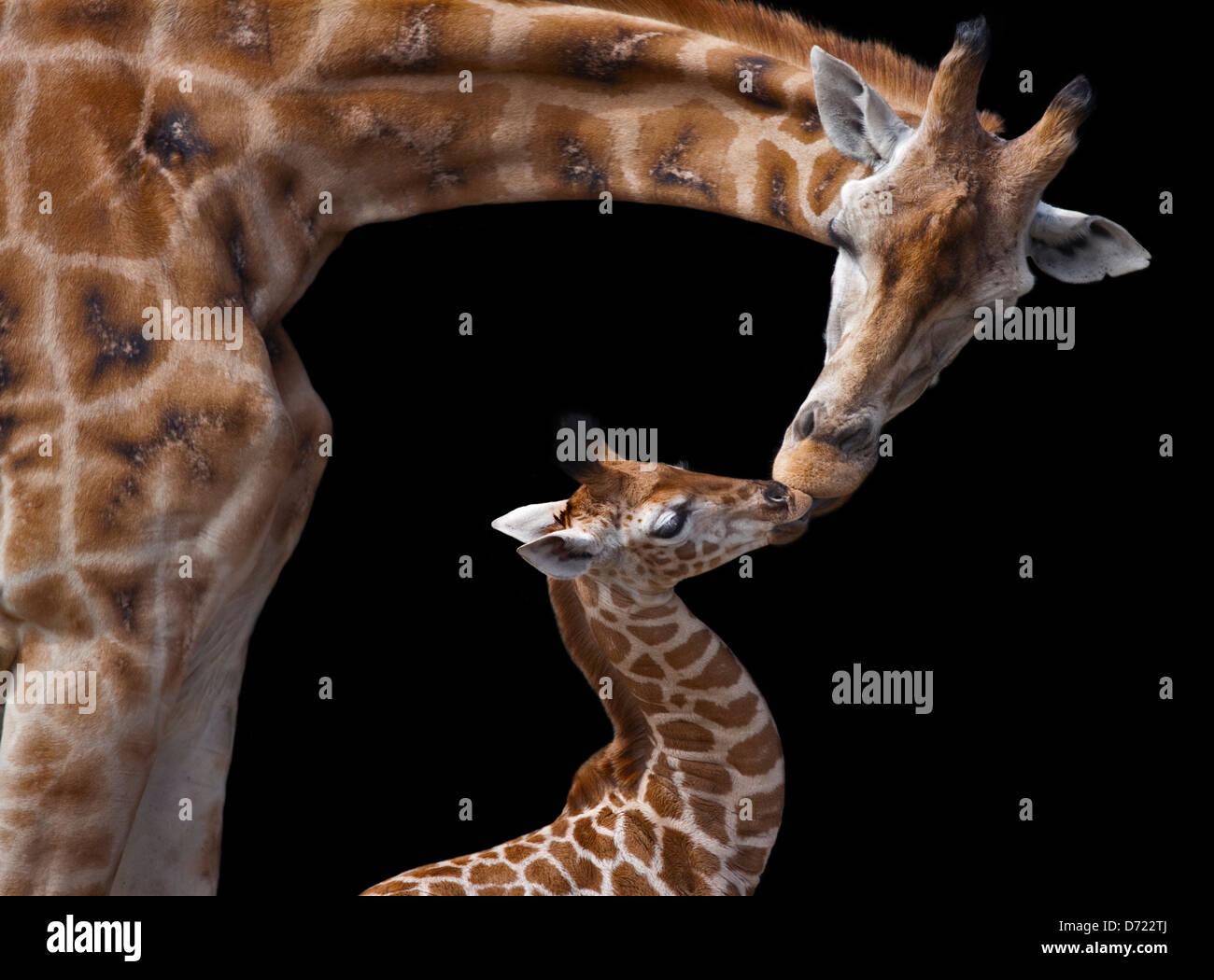 Giraffe (giraffa camelopardarlis) genitore e vitello kissing Immagini Stock