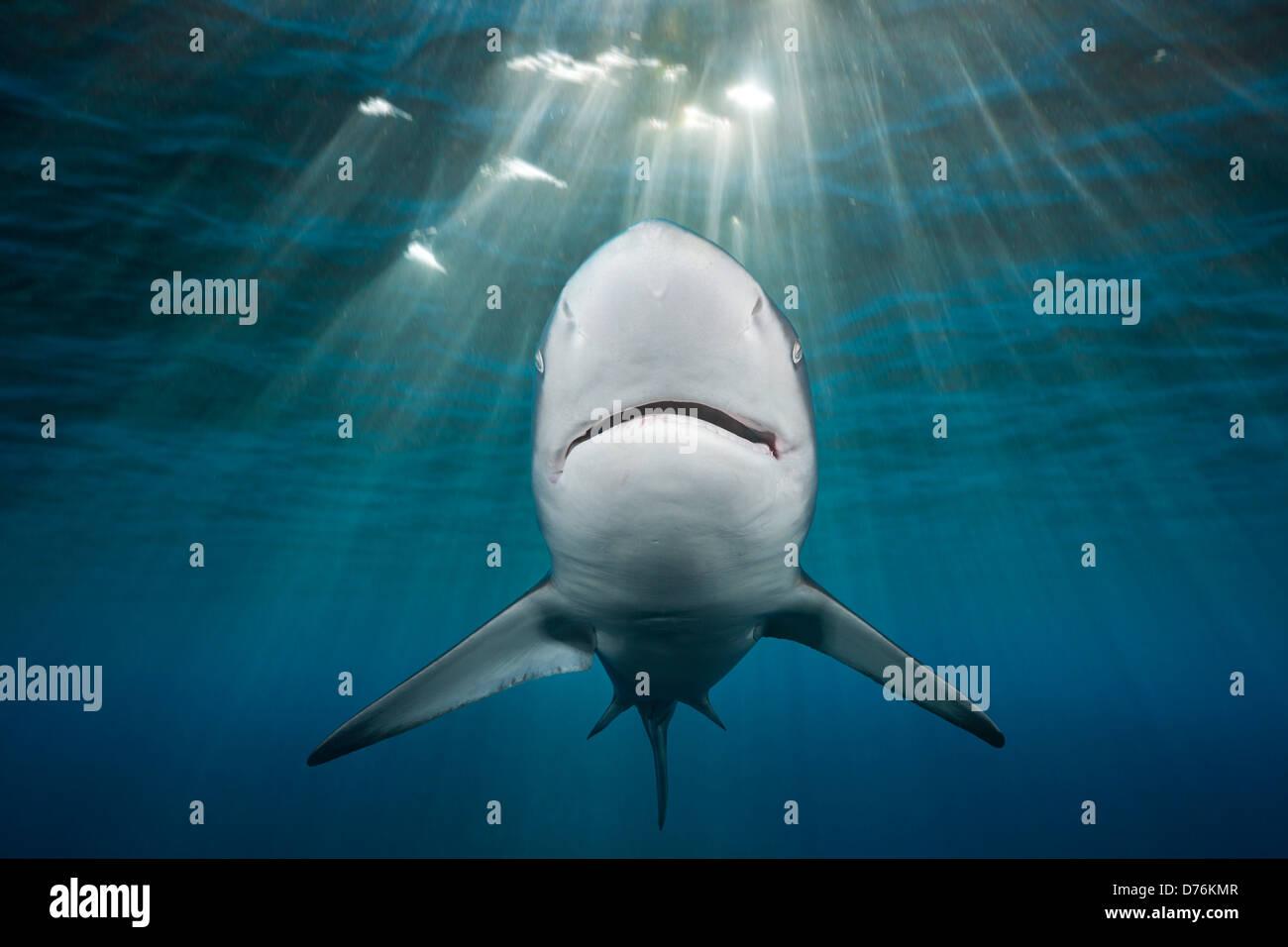 Lo squalo Blacktip, Carcharhinus limbatus, Oceano Indiano, Costa Selvaggia, Sud Africa Immagini Stock