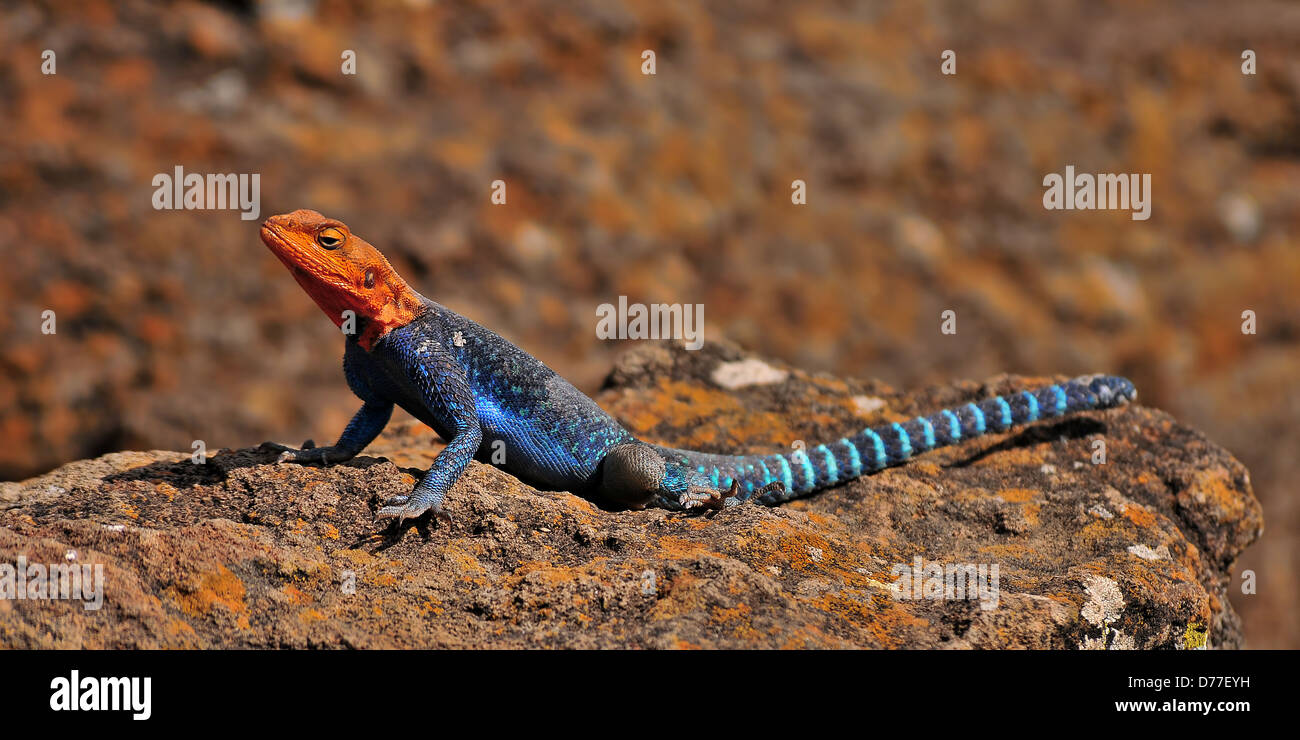 Orange-headed Agama sa prendere il sole in Nakuru Lake, Kenya Immagini Stock