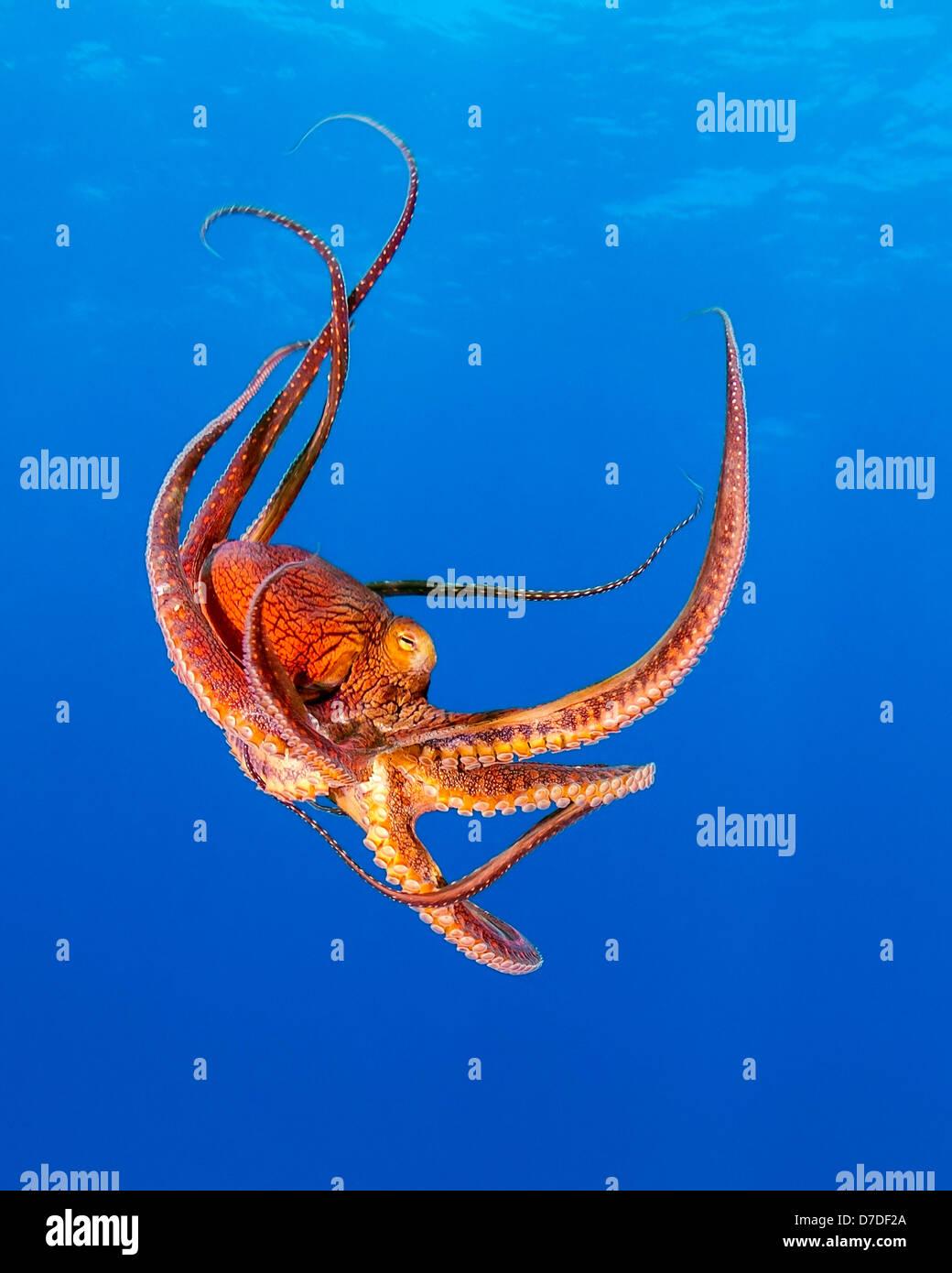 Giorno di polpo, Octopus cyanea, Kohala Coast, Big Island, Hawaii, STATI UNITI D'AMERICA Immagini Stock