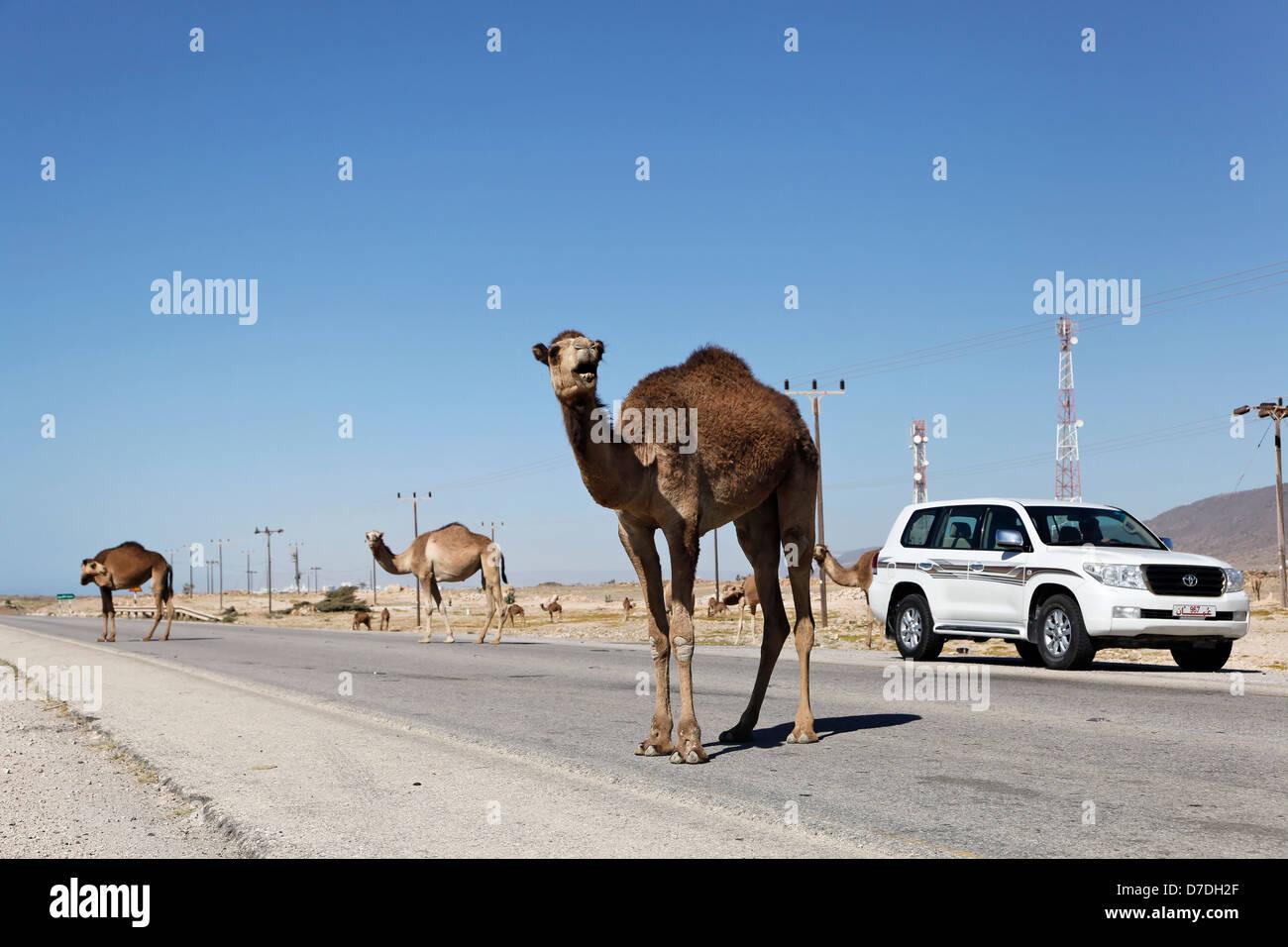 Blocco Dromedars Road, Camelus dromedarius, Mirbat, Oman Immagini Stock