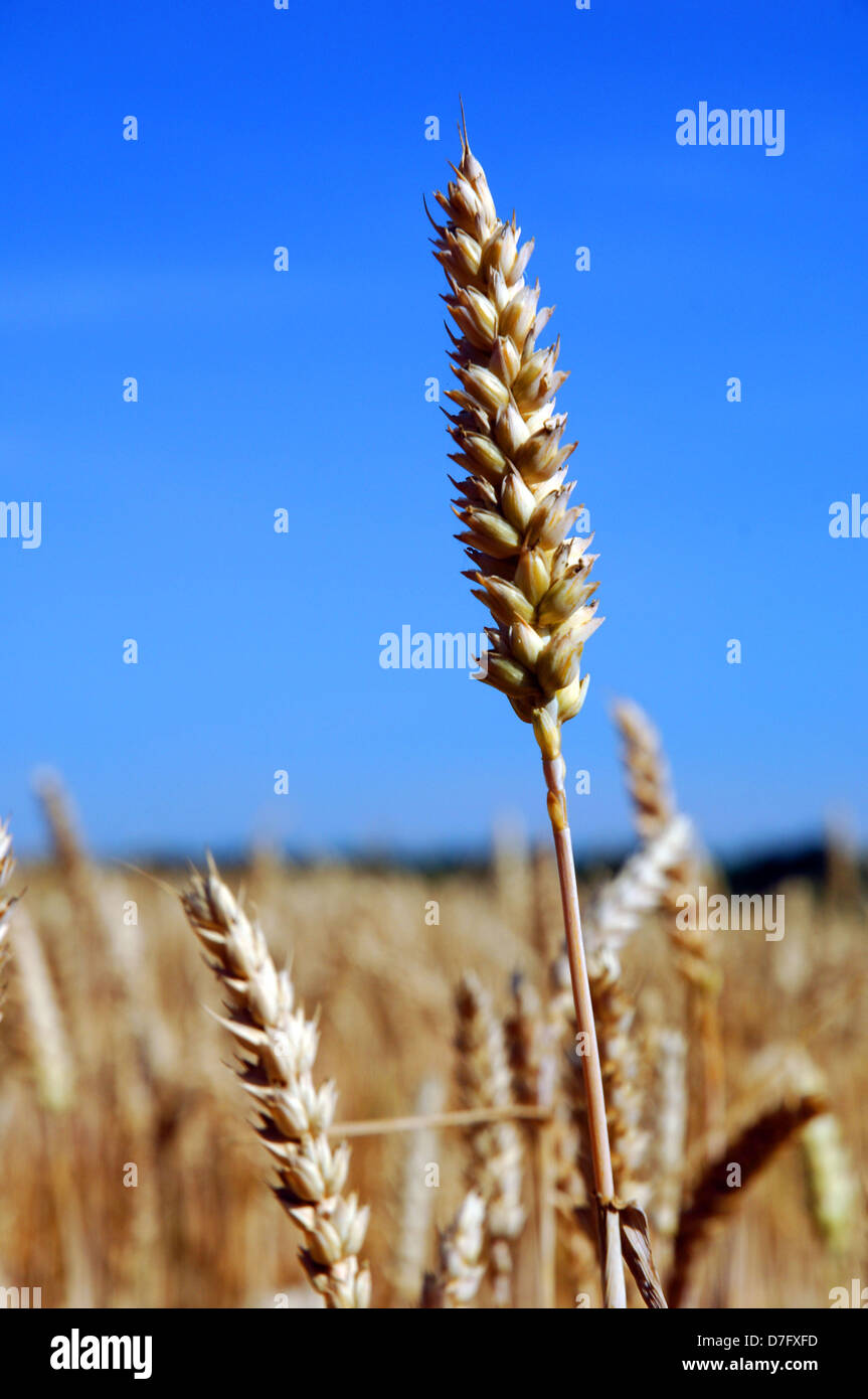 campo di frumento Immagini Stock
