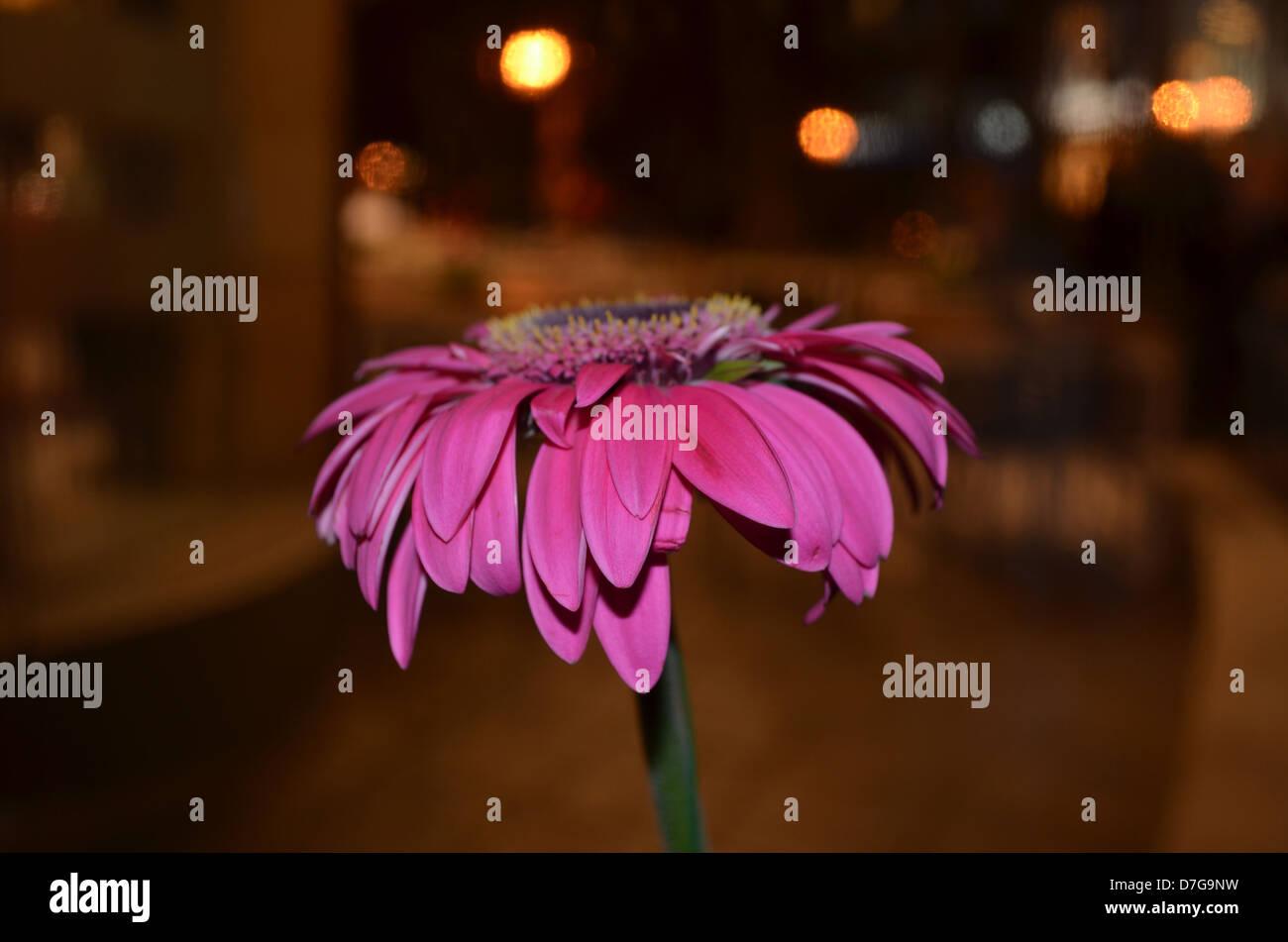 Atene Grecia KIFISSIA bellissimo fiore fucsia Immagini Stock