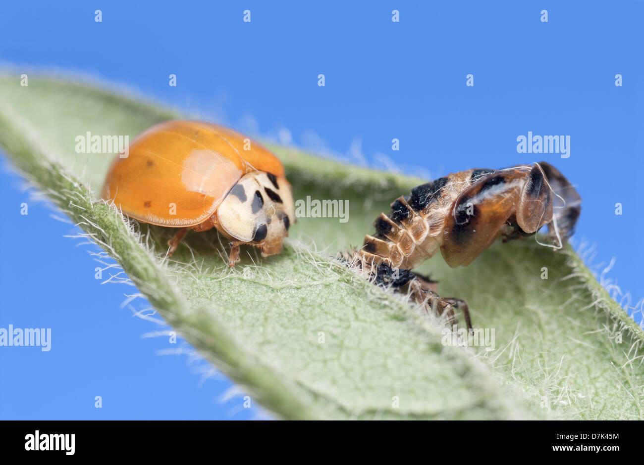 Appena emerse Imago (adulti) forma di Harlequin Ladybird Harmonia axyridis con il caso di pupa Immagini Stock