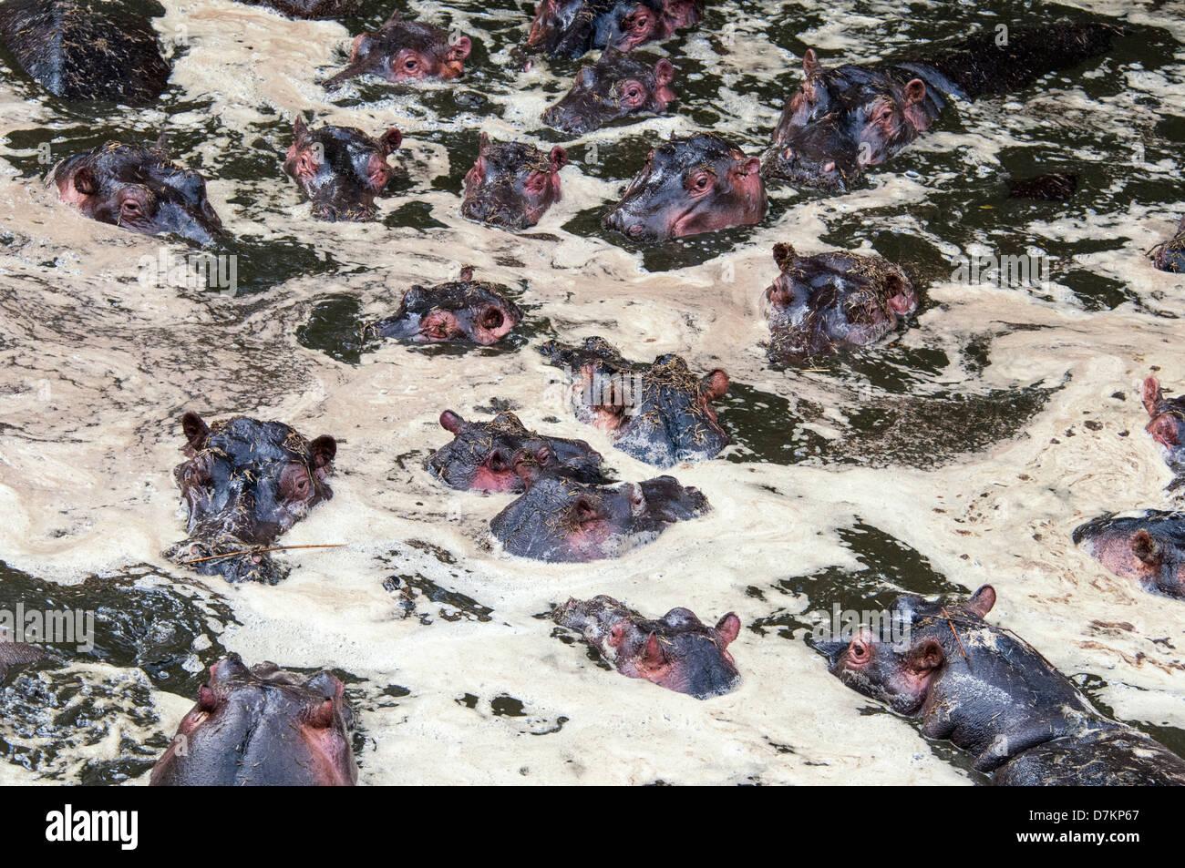 Gruppo di ippopotami, Hippopotamus amphibius, in acqua inquinata con i loro rifiuti a causa della siccità, Immagini Stock