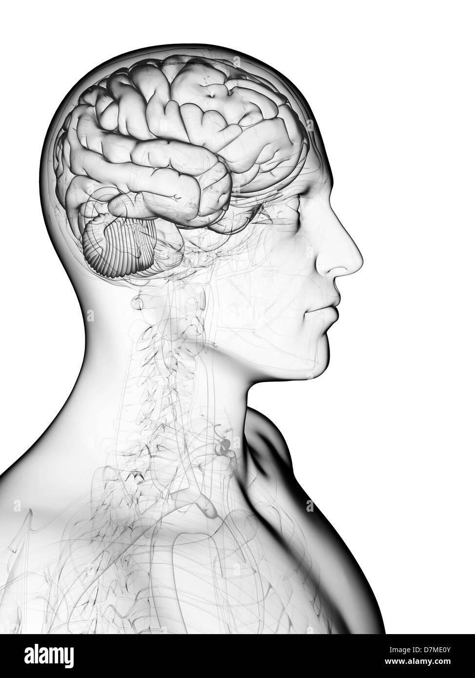 Cervello maschile, artwork Immagini Stock