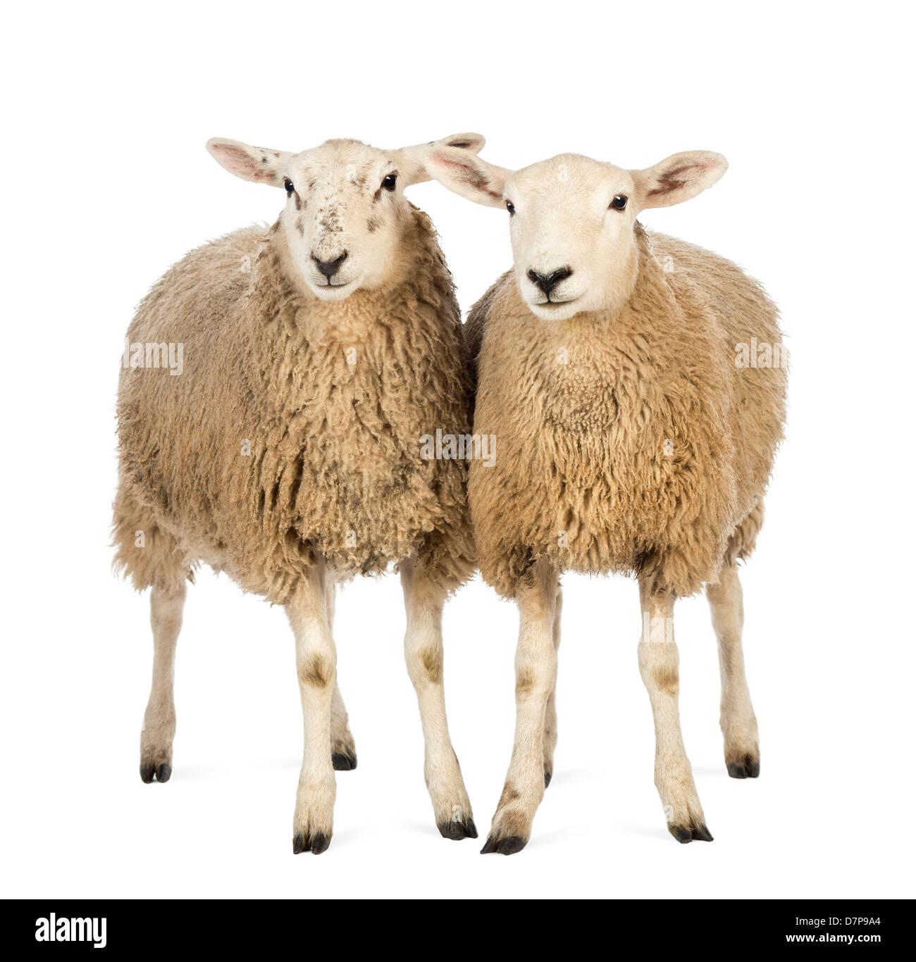 Due pecore in piedi di fronte a uno sfondo bianco Immagini Stock