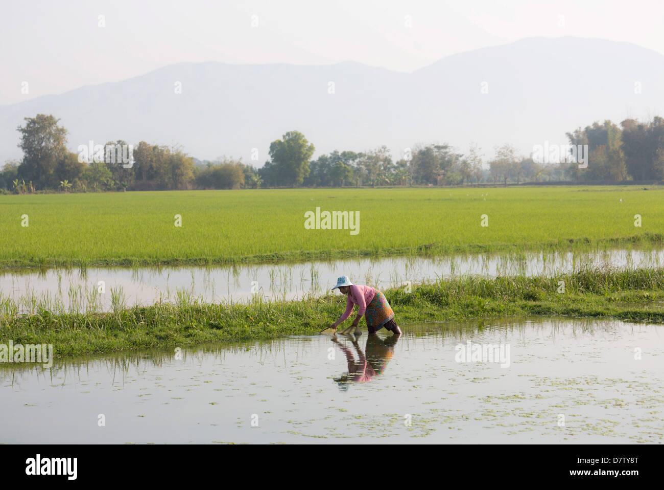 Donna che lavorano nelle risaie nei pressi di Kengtung (Kyaingtong), Stato Shan, Birmania Immagini Stock