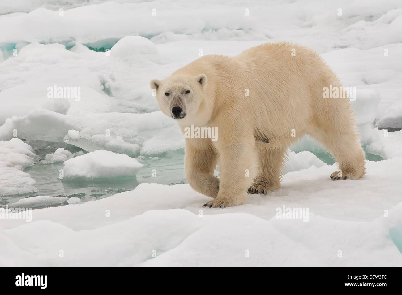 Femmina orso polare (Ursus maritimus), arcipelago delle Svalbard, il Mare di Barents, Norvegia e Scandinavia Immagini Stock