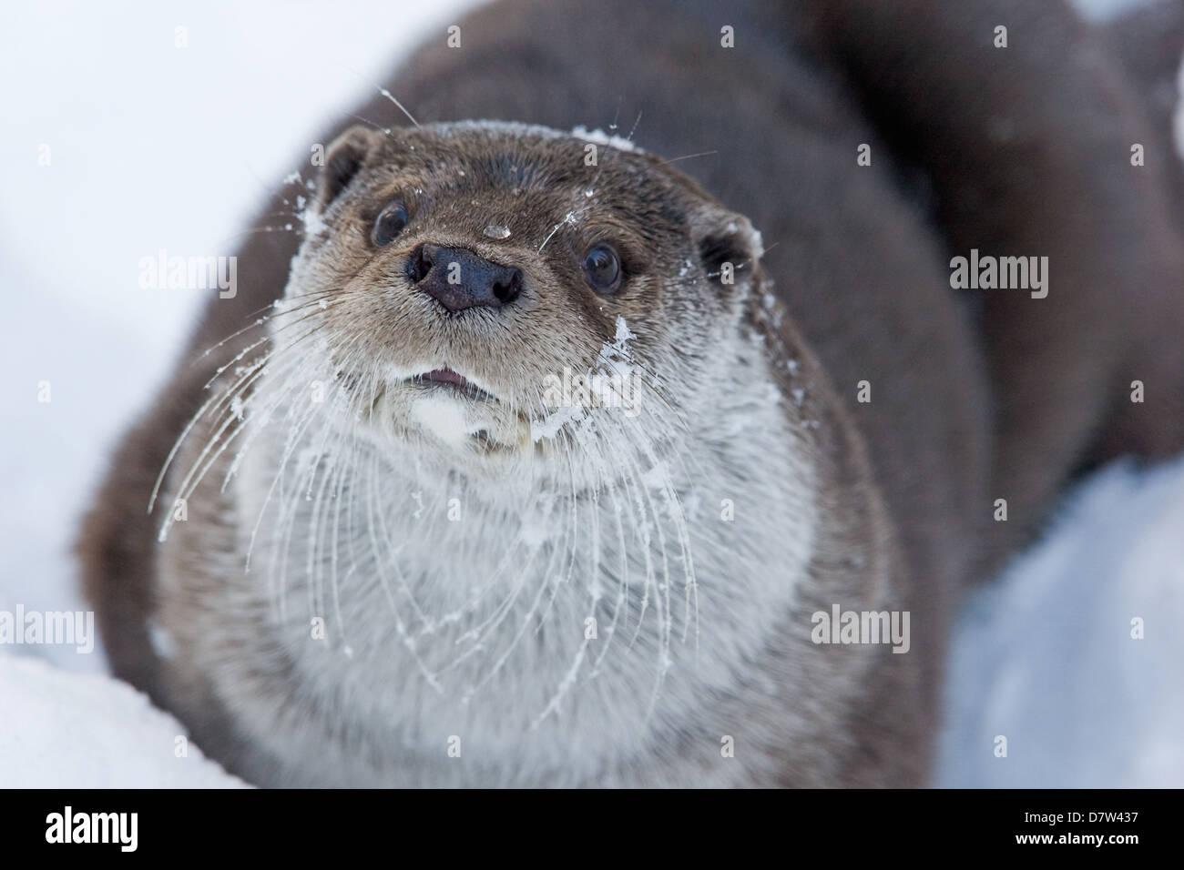 Lontra europea Foto Stock