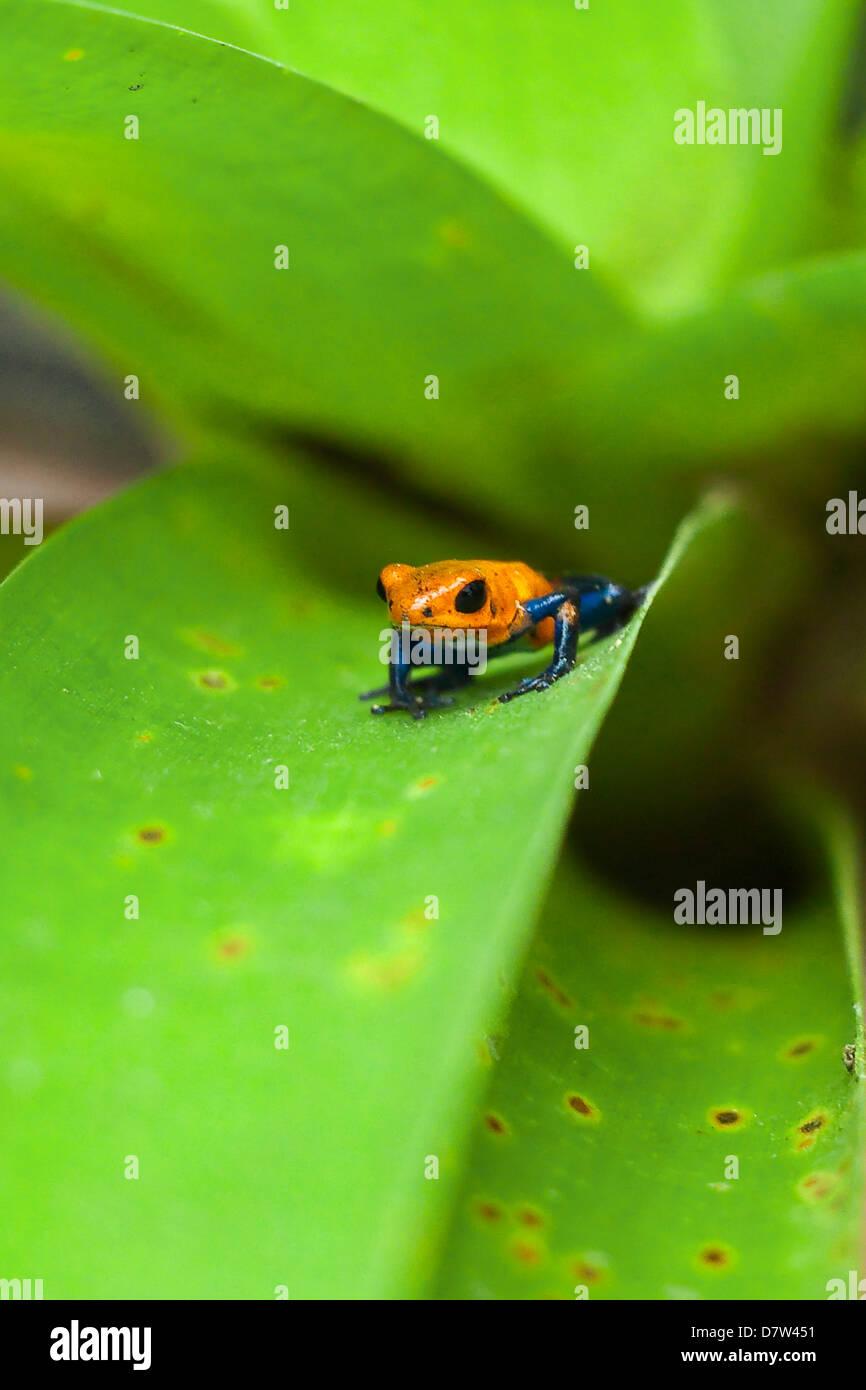 Poison Dart Frog, denominato a causa esso excreting un veleno che paralizza - usato su native frecce; Arenal, provincia Immagini Stock