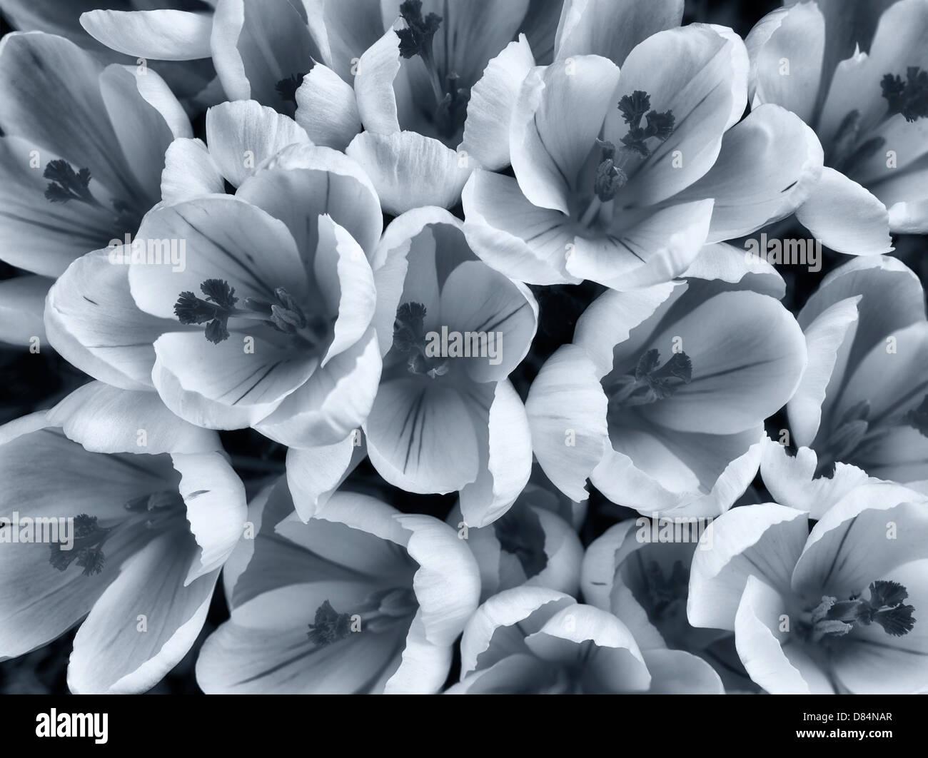 Fioritura di crocus bianco. Oregon Immagini Stock
